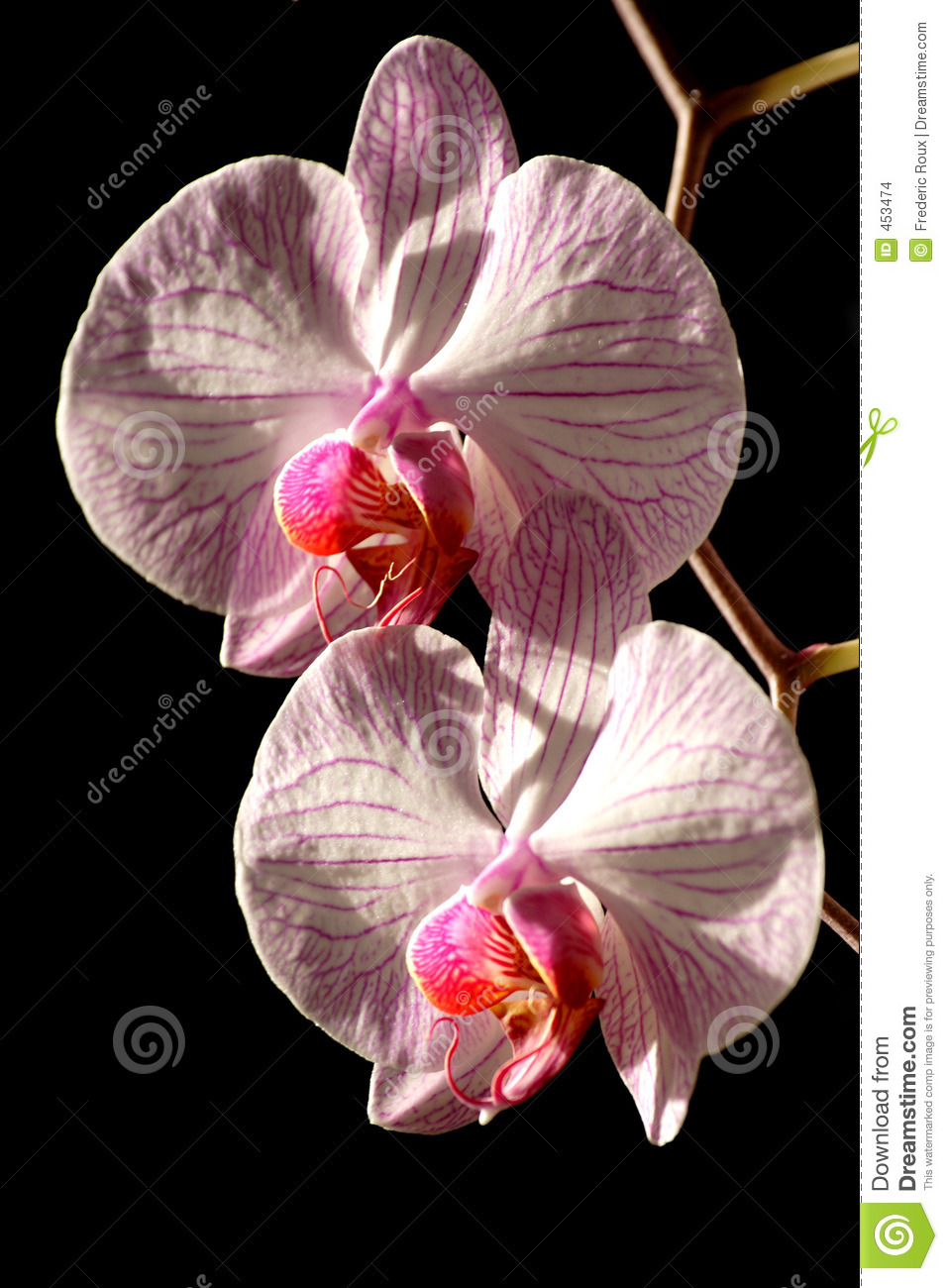 Download Orchid closeup stock photo. Image of sweet, botany, nature - 453474