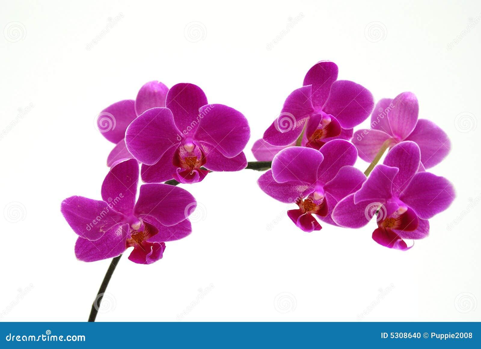 orchid - dark pink