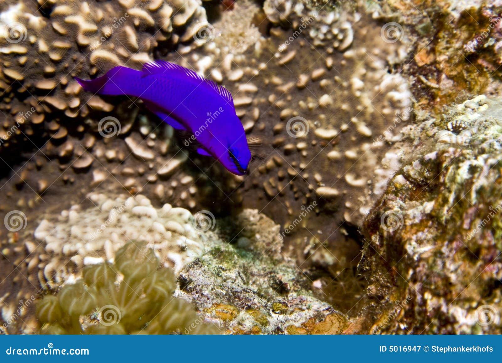 Orchid dottyback (pseudochromis fridmani)