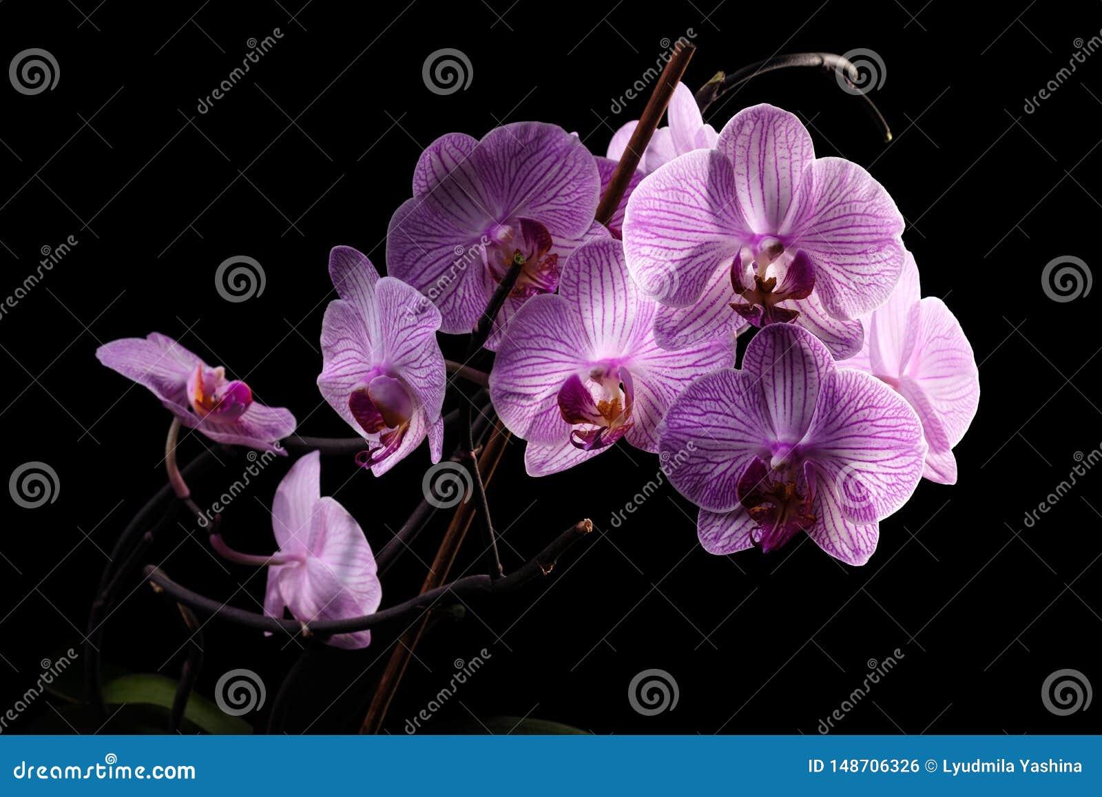 Orchid?e sur le fond noir