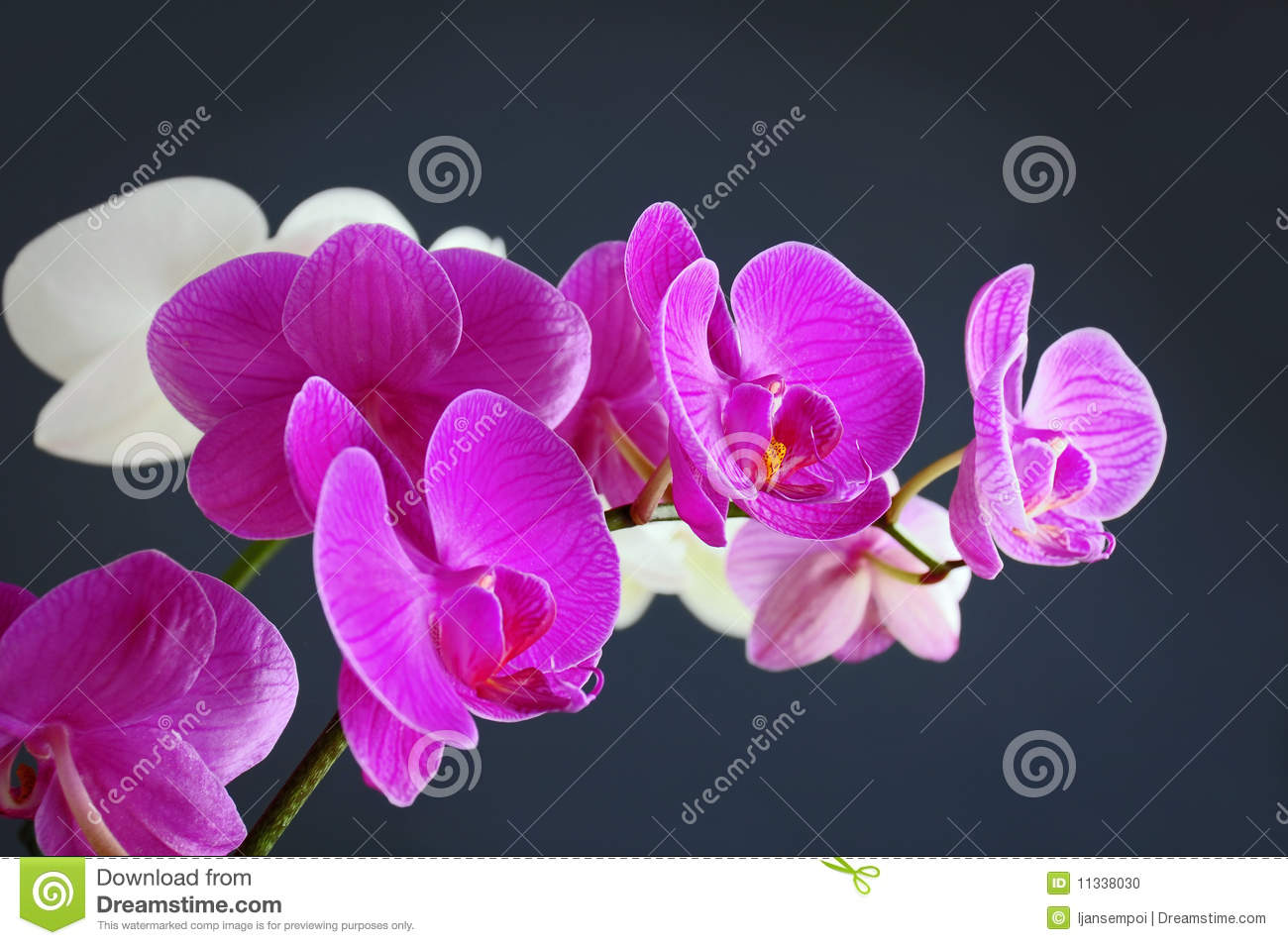 Download Orchid flower stock photo. Image of background, blossom - 11338030