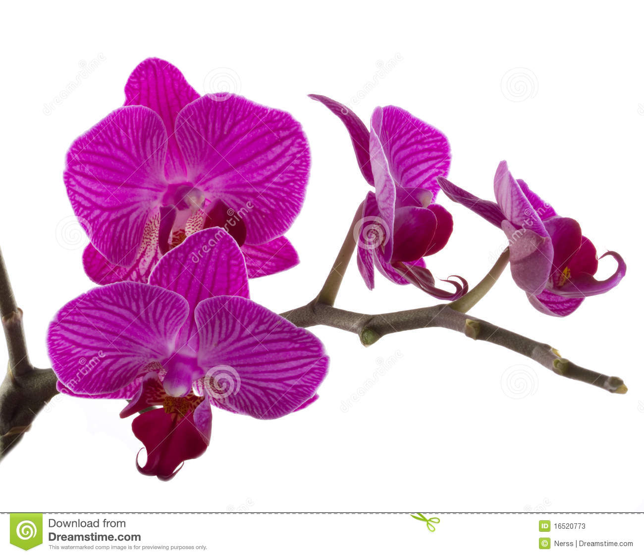 Orchid Flower Stock Image Image Of Birthday Nature 16520773