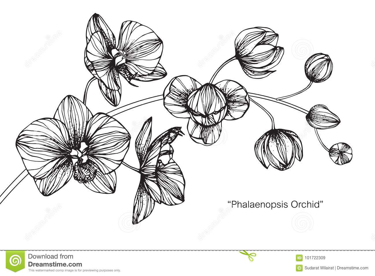 Orchid Flower Line Drawing : Orchid flower drawing and sketch stock illustration