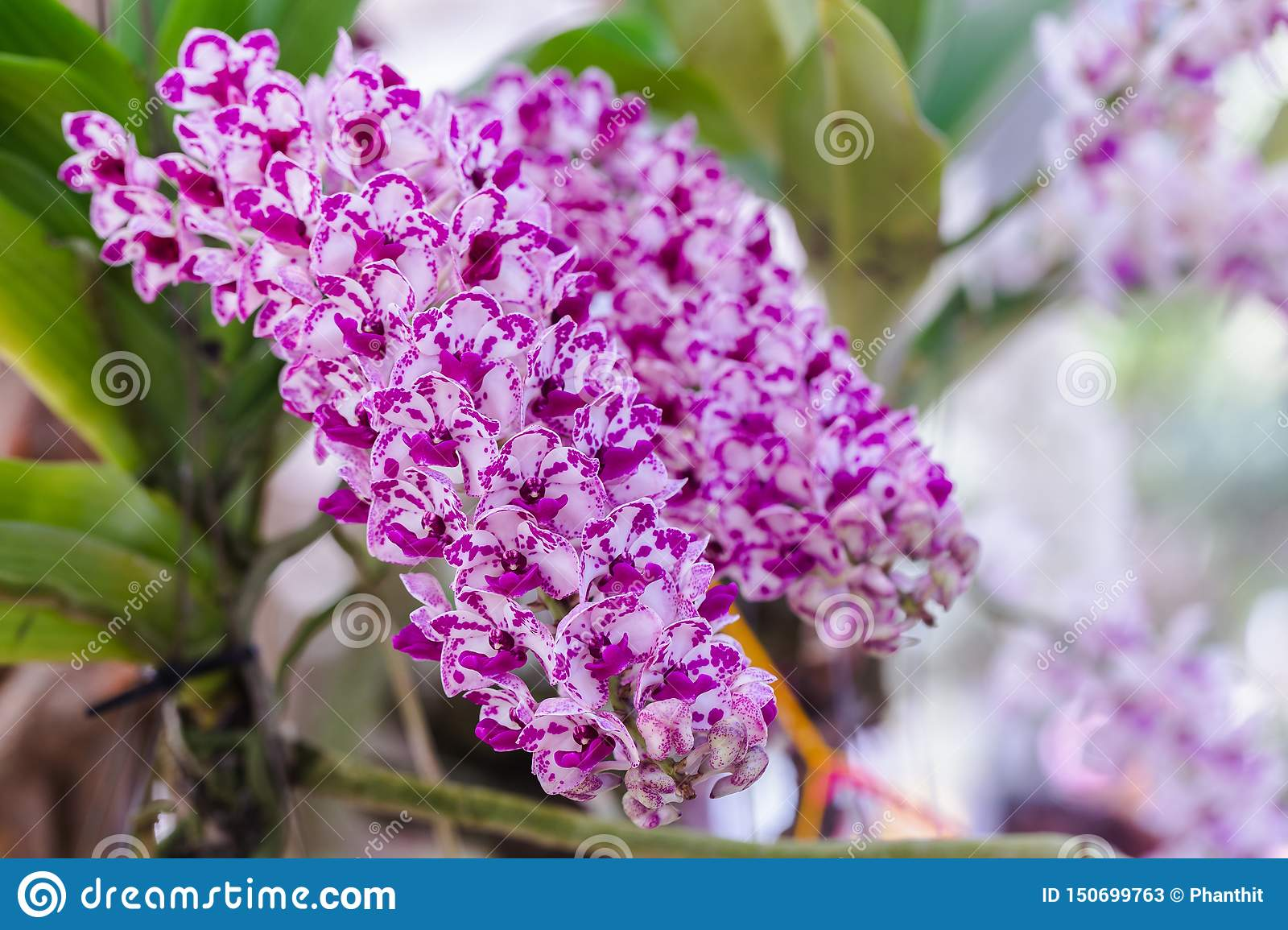 Orchid flower in orchid garden at winter or spring day for postcard beauty concept design. Rhynchostylis Orchidaceae.