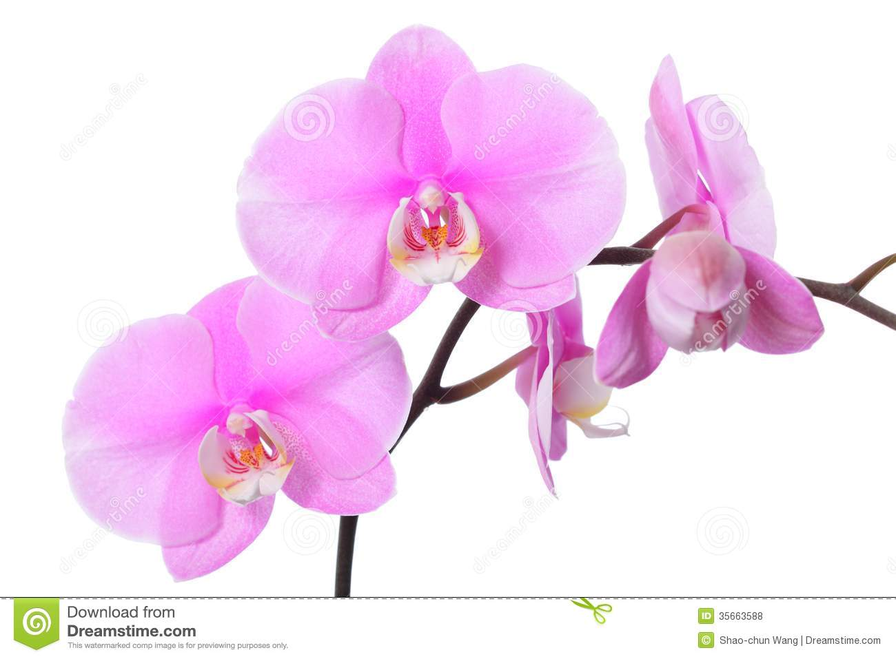 Orchid Flower Royalty Free Stock Photos - Image: 35663588