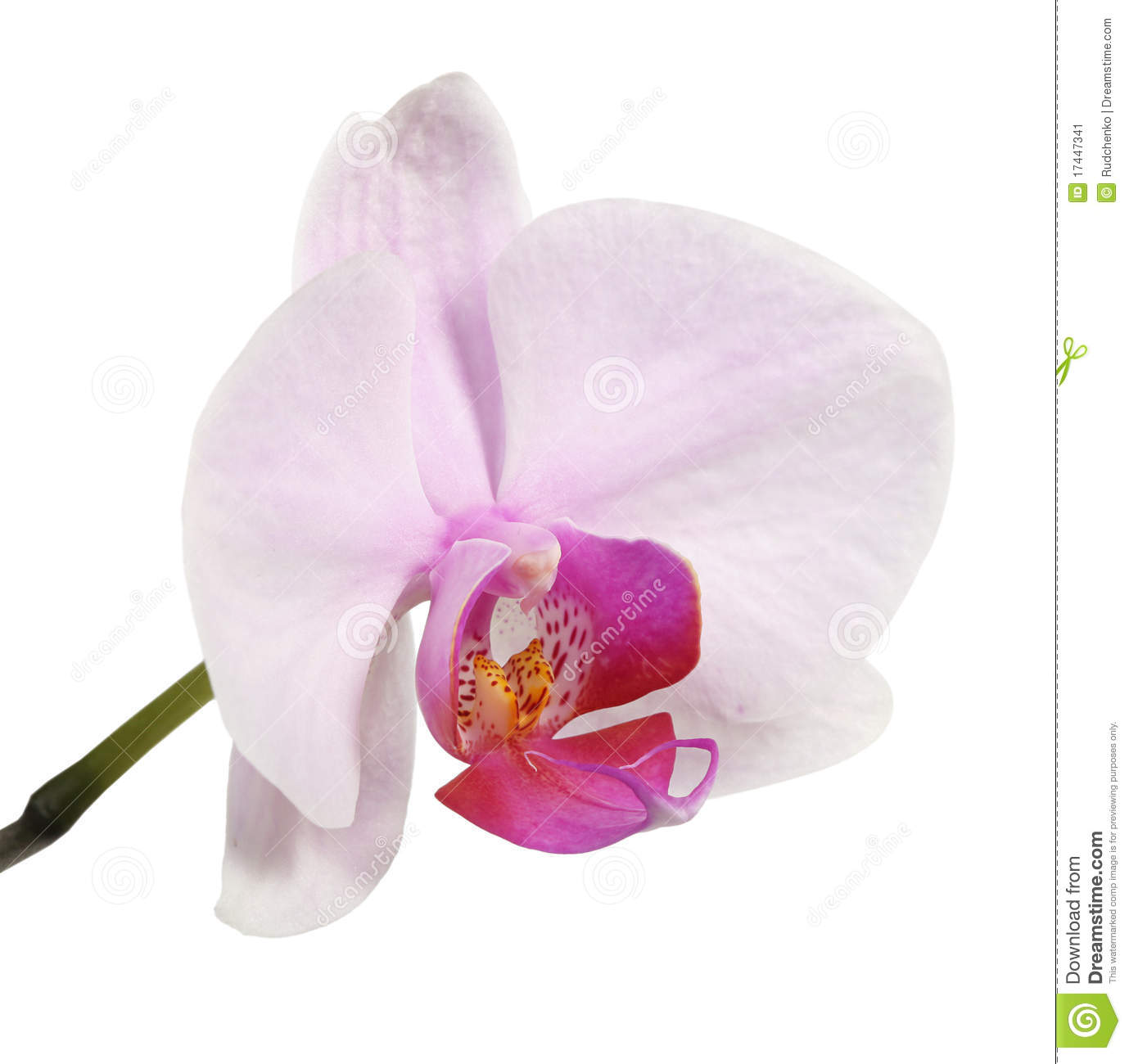 orchid flower picture orchidee phalaenopsis tattoo. Black Bedroom Furniture Sets. Home Design Ideas