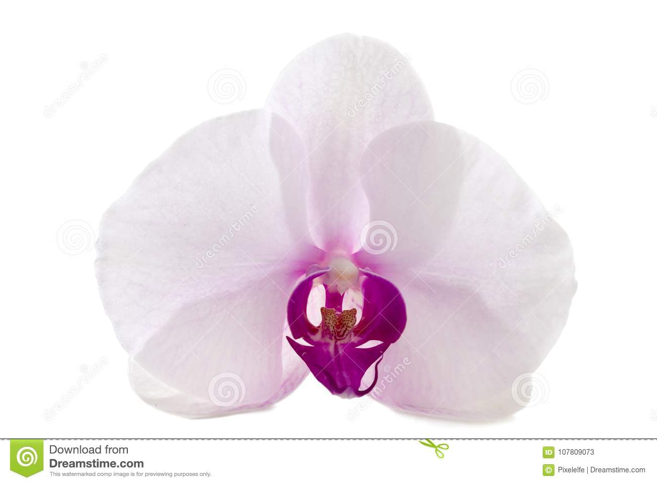 Orchid Flower White And Purple Isolated Stock Image Image Of