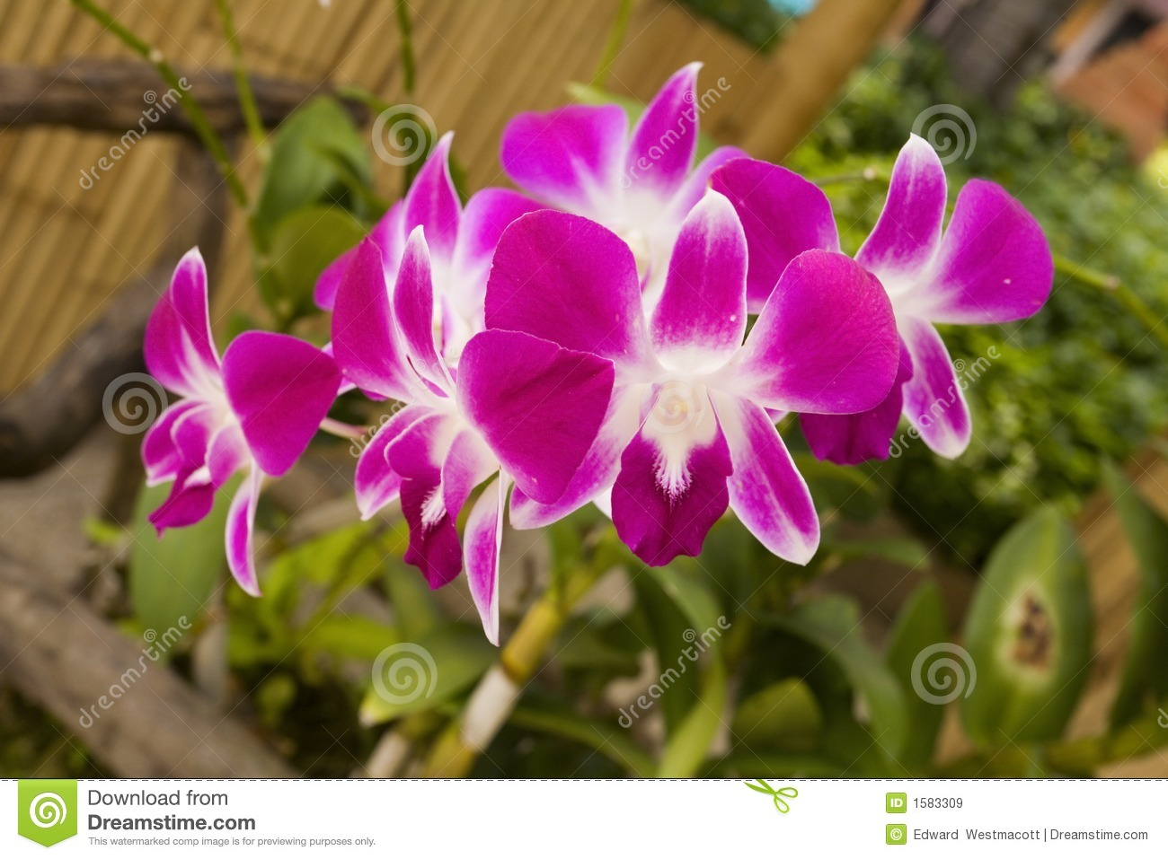 orchid flowers royalty free stock images  image, Natural flower