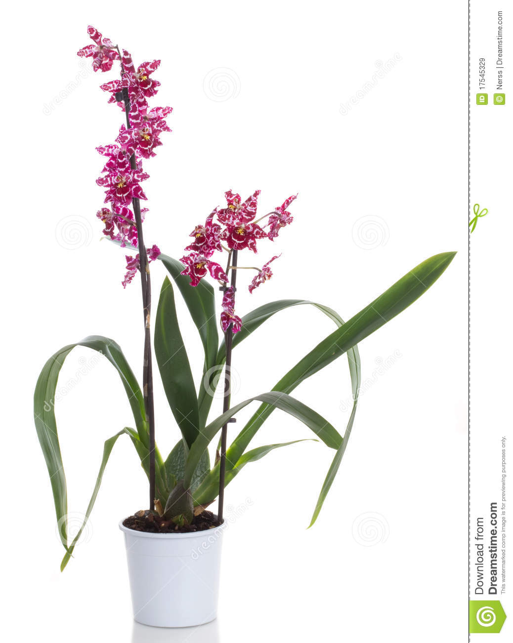 orchid flowers royalty free stock images  image, Beautiful flower