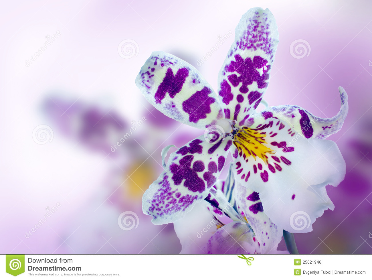 Royalty Free Stock Image Orchid Flowers Image25621946 on orchid background wallpaper