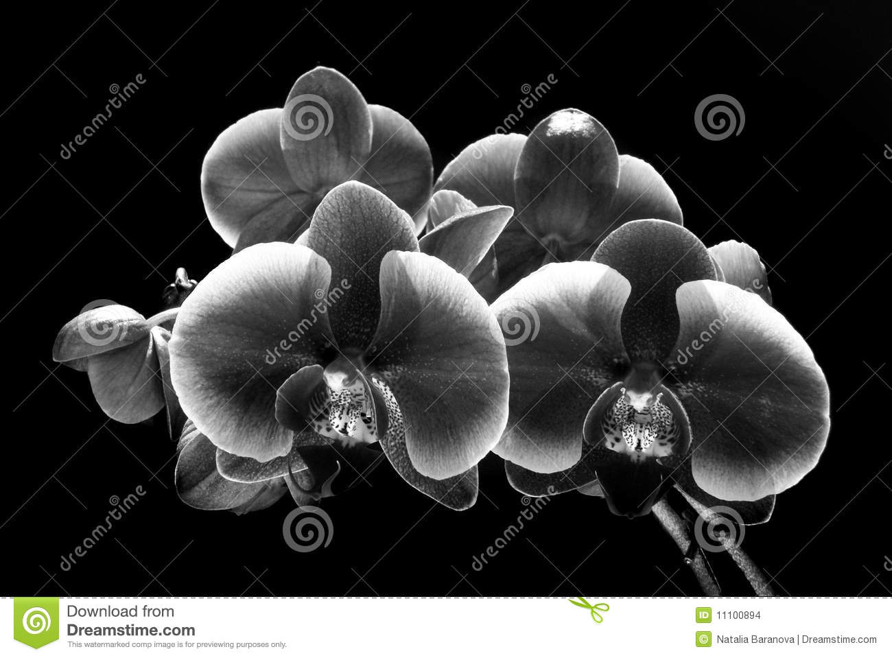 Download Orchid Flowers Isolated On Black (bla Stock Photo - Image of care, fragility: 11100894