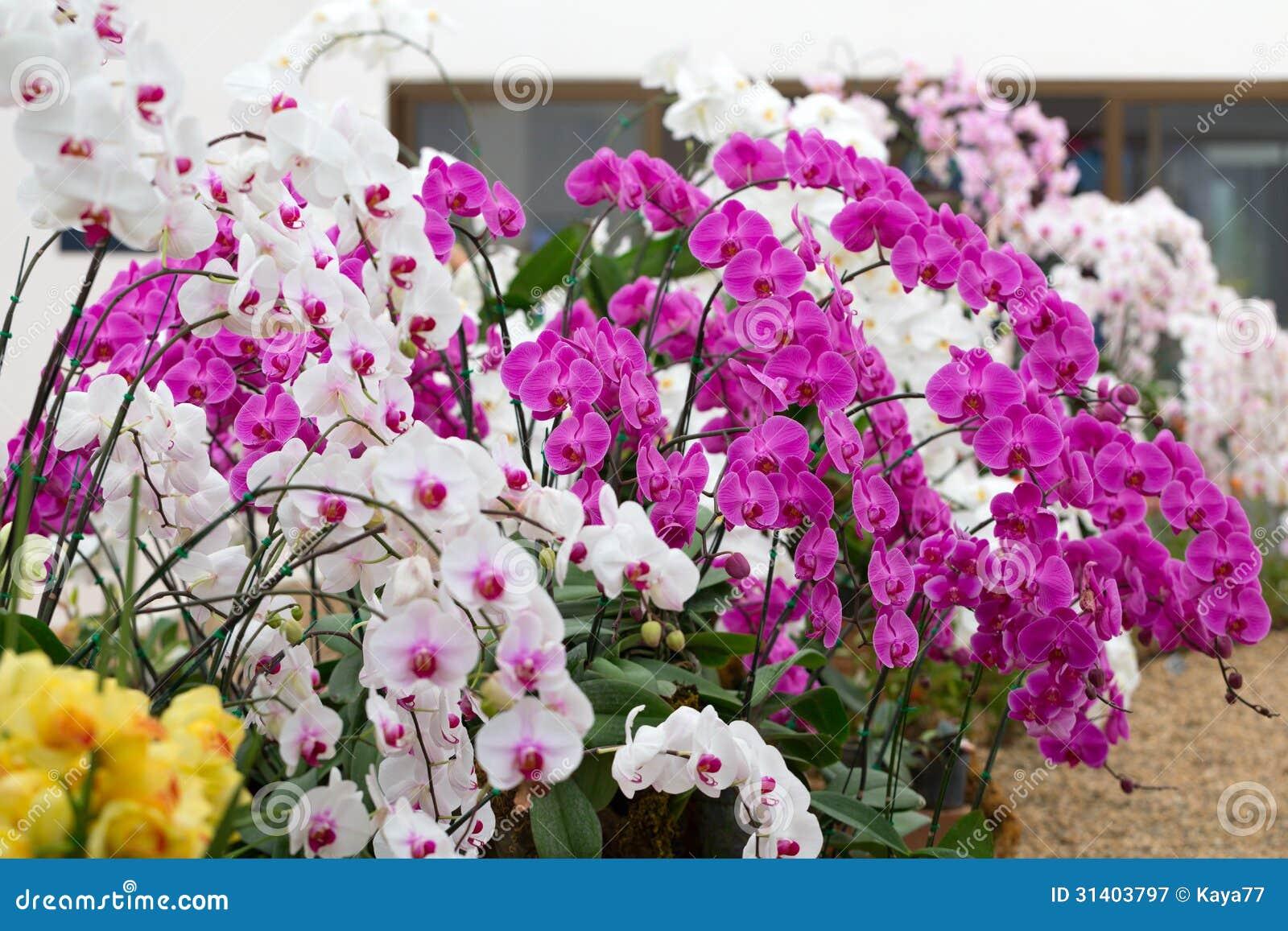 Garden Orchid ...