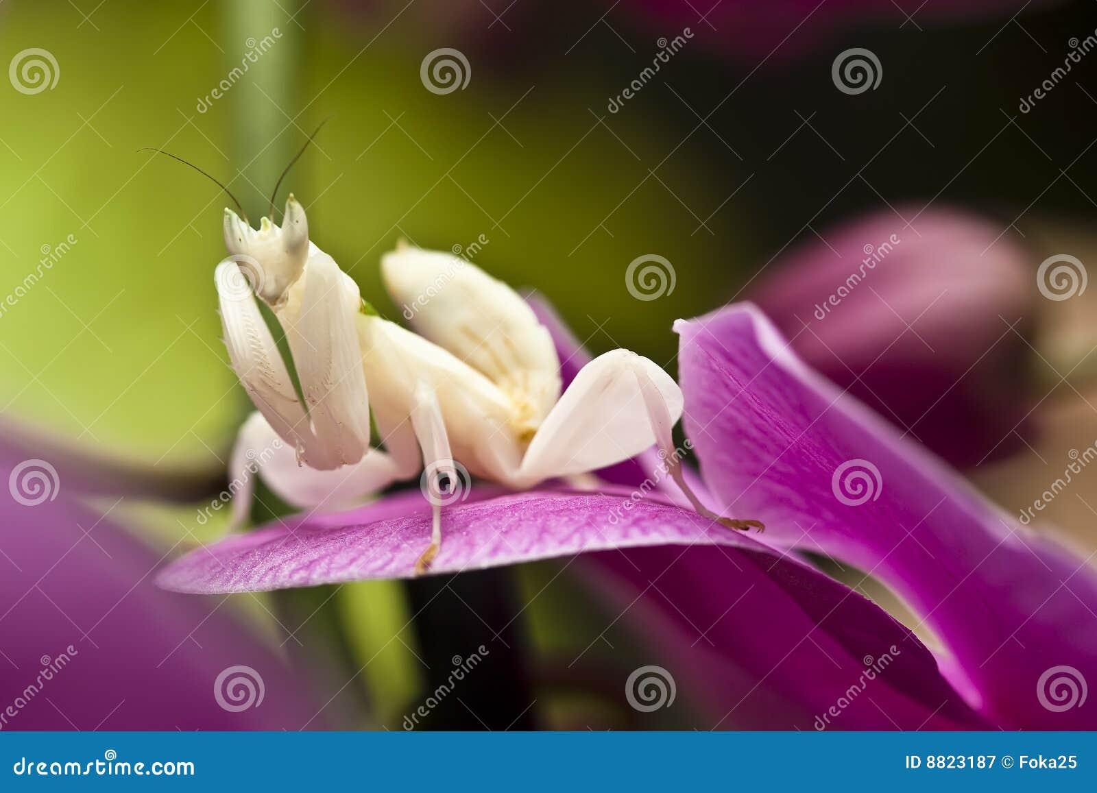 Orchid Mantis Stock Image Image Of Pink Predator Botany 8823187