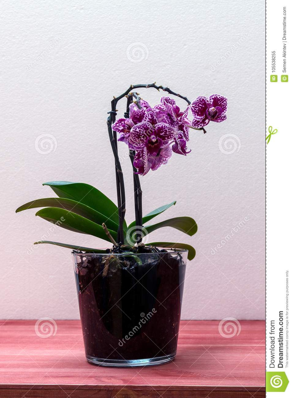 Orchid phalaenopsis in a glass pot on a wooden table