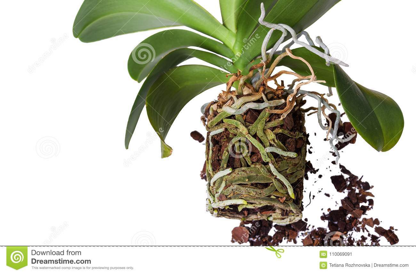 orchid preparation for transplant stock image image of exotic foliage 110069091. Black Bedroom Furniture Sets. Home Design Ideas
