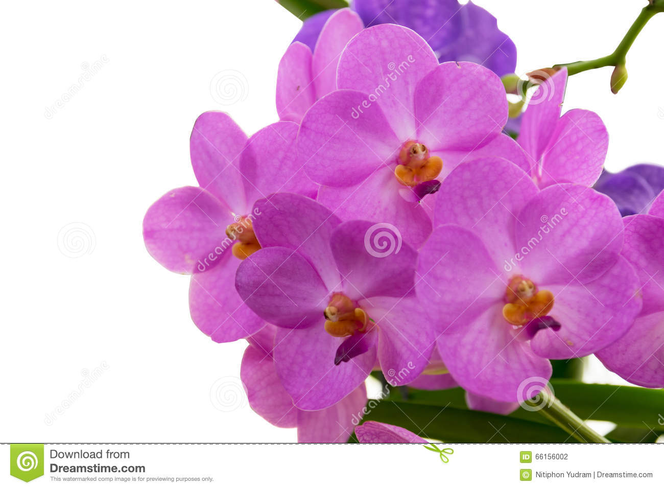 Purple pink orchid from thailand national orchid garden
