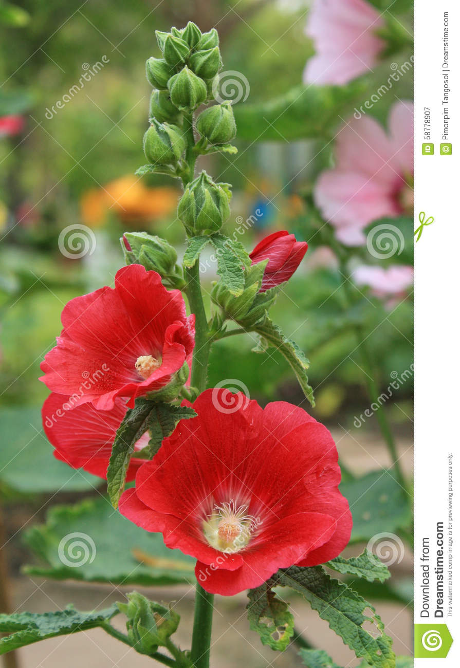 An Orchid-red-color Rose Of Sharon Flower Blooms Stock Image - Image ...