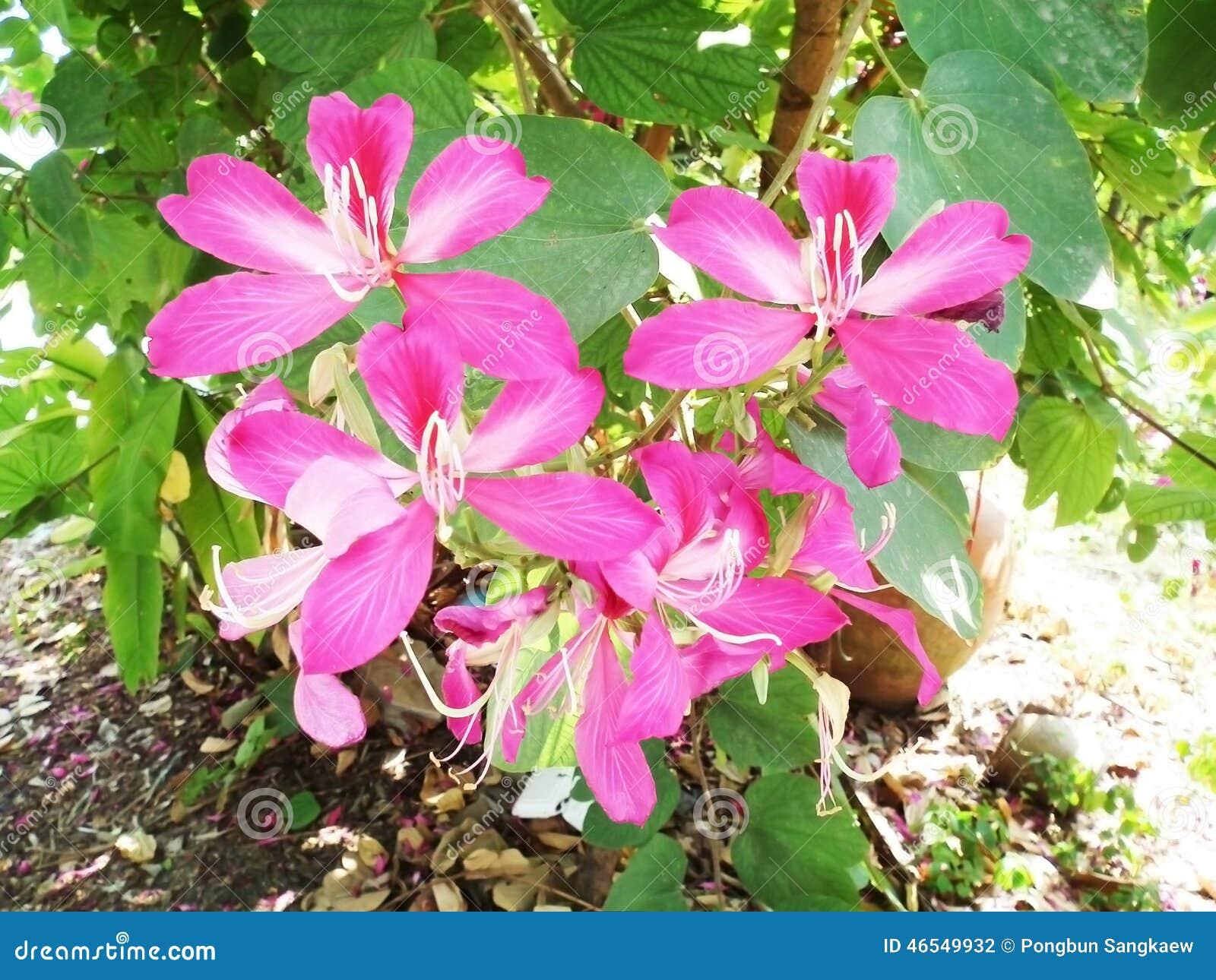 phanera purpurea alchetron the free social encyclopedia