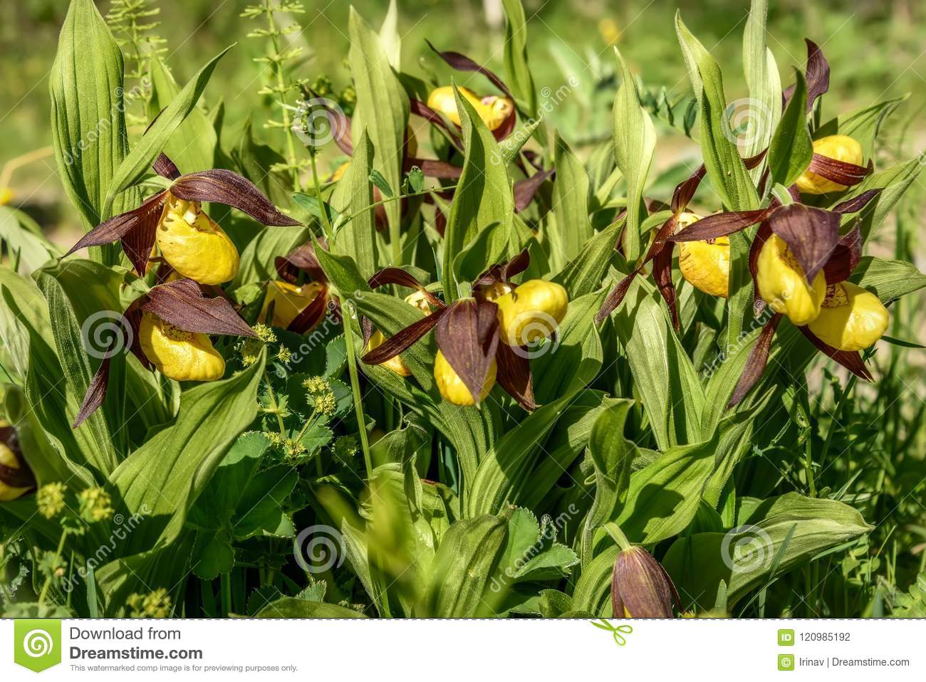 Orchid Venus Slipper Flower Yellow Stock Photo Image Of Postcard