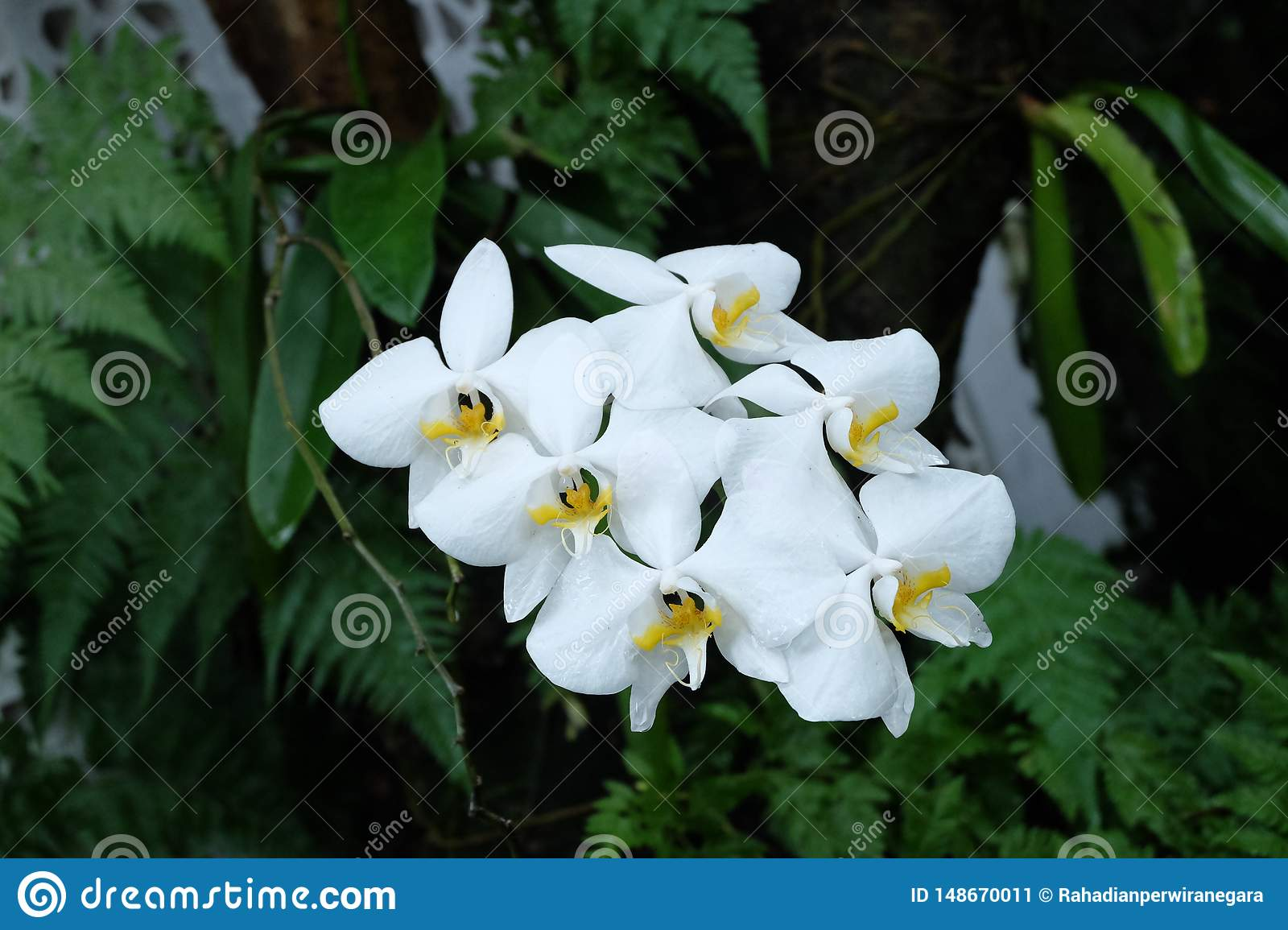 Orchid white moon, Phalaenopsis amabilis, commonly known as the moon orchid or angrek bulan, is a species of flowering plant in