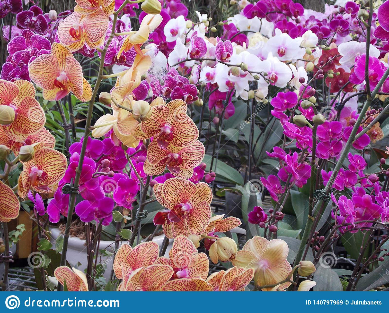 Bright exotic orchids