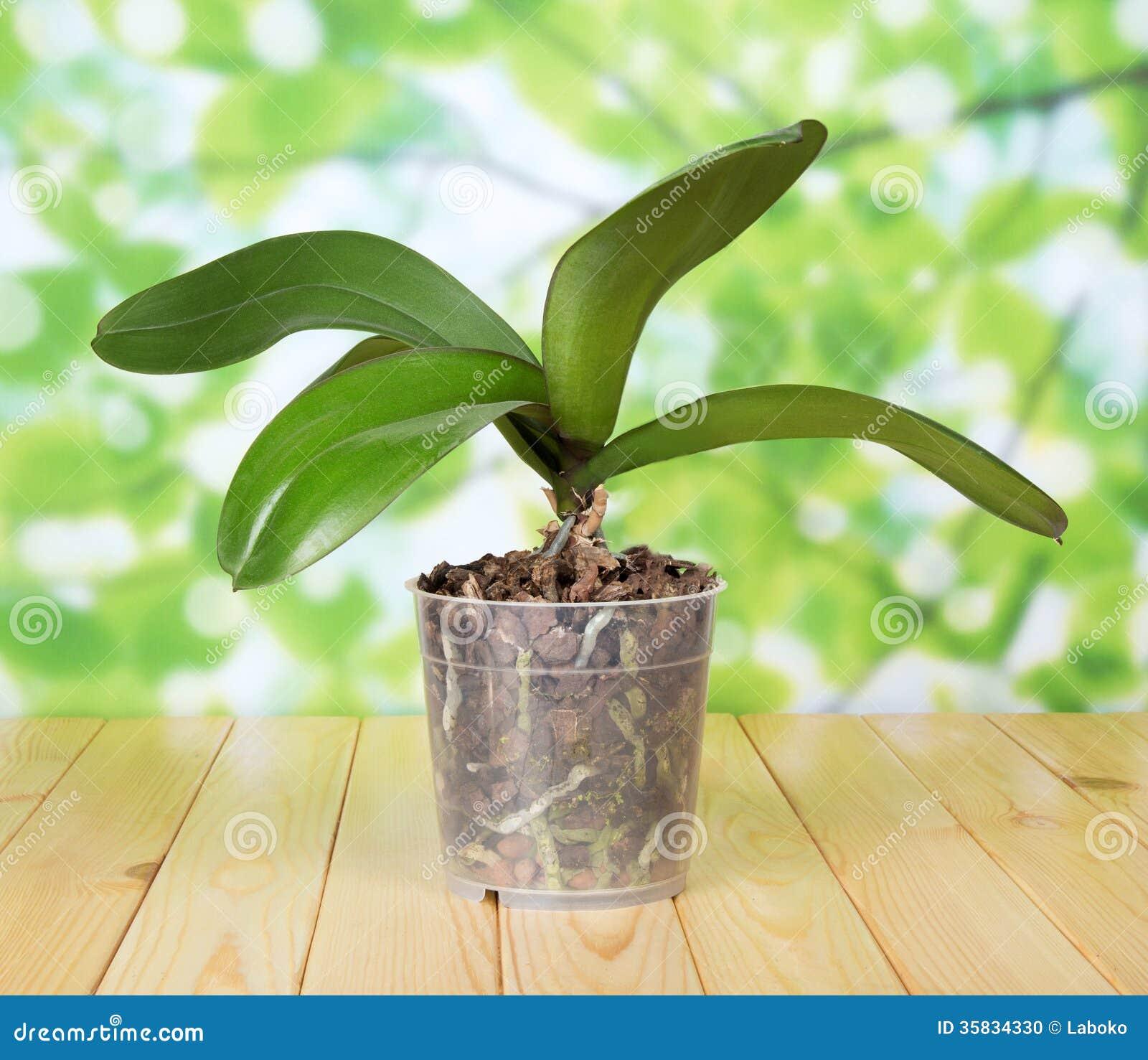 orchid e de phalaenopsis dans le pot sur la table en bois photo stock image 35834330. Black Bedroom Furniture Sets. Home Design Ideas