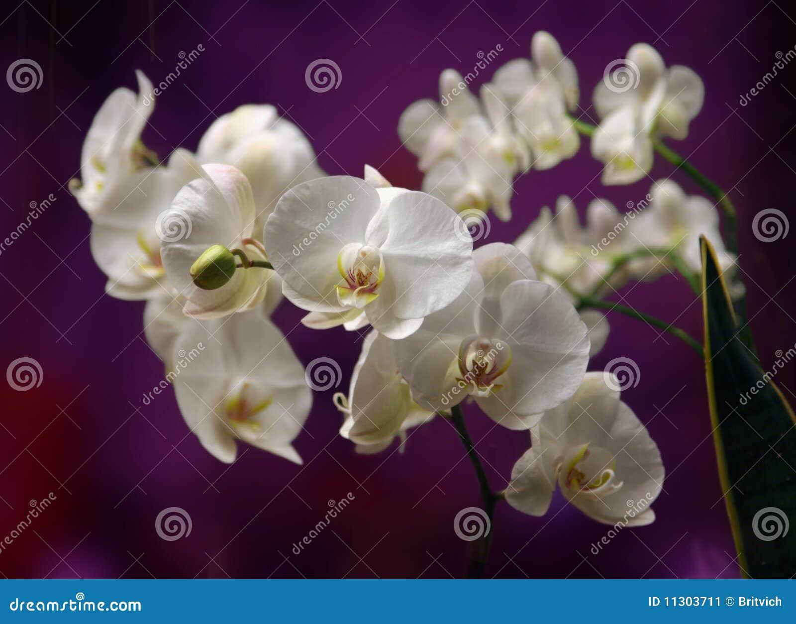 Orchide im Abschluss oben