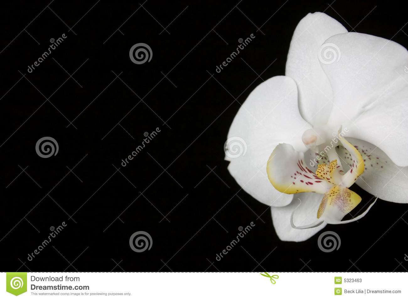 Download Orchidea immagine stock. Immagine di molla, backgrounds - 5323463