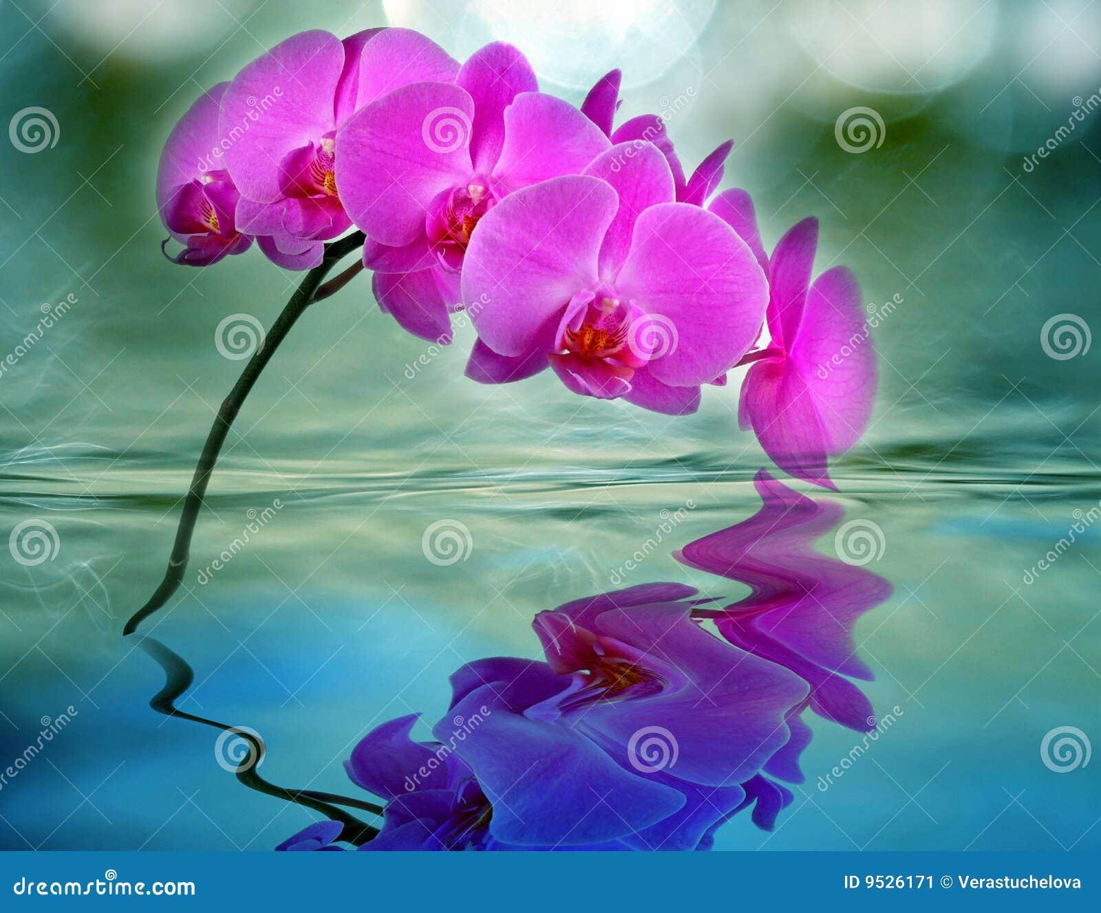 orchidea in acqua immagine stock immagine 9526171