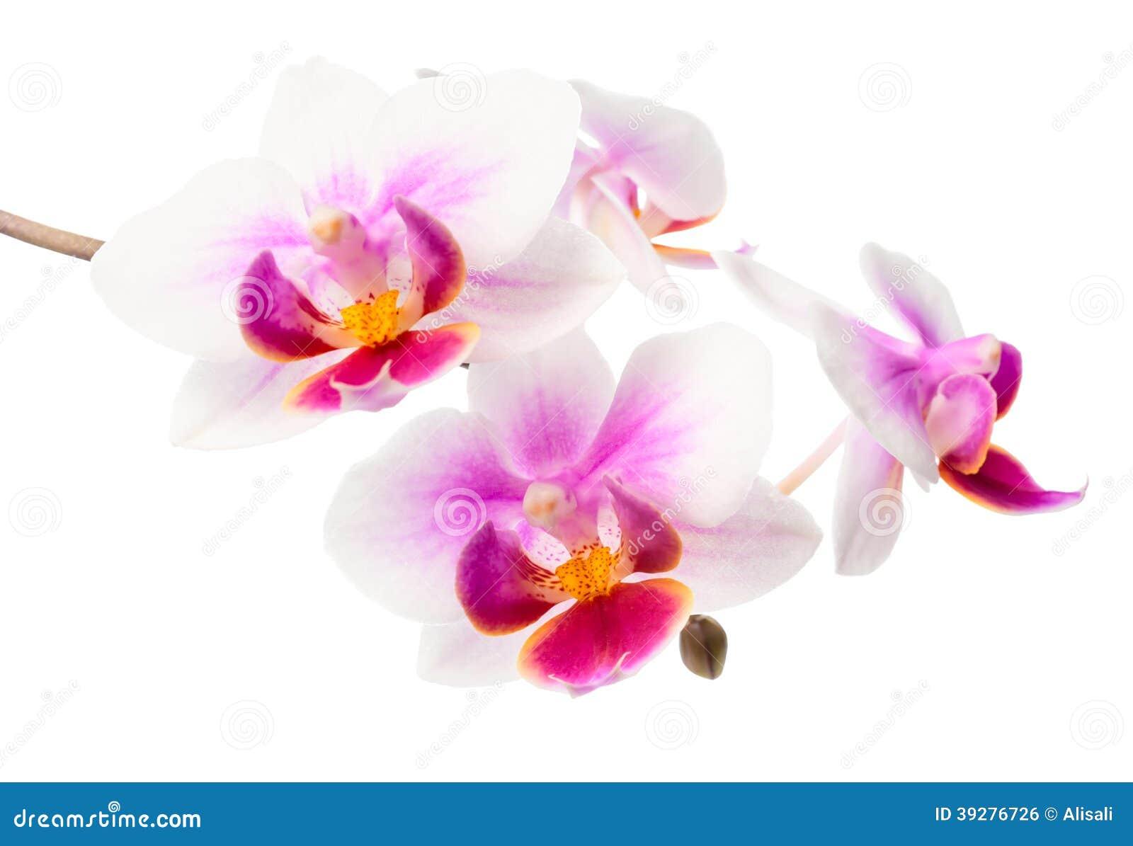 Orchidea bianca e rossa del ramo di fioritura fotografia for Orchidea fioritura