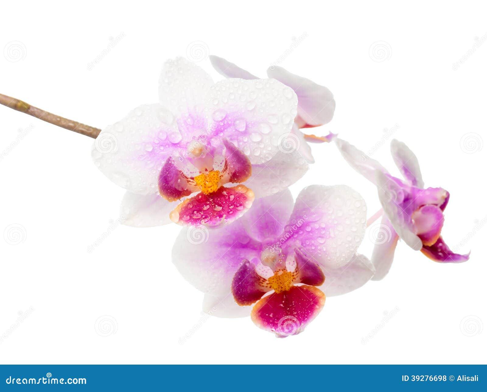 Orchidea bianca e rossa del ramo di fioritura con le gocce for Orchidea fioritura