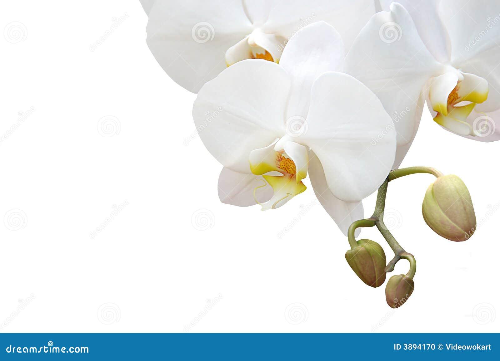 Orchidea bianca isolata