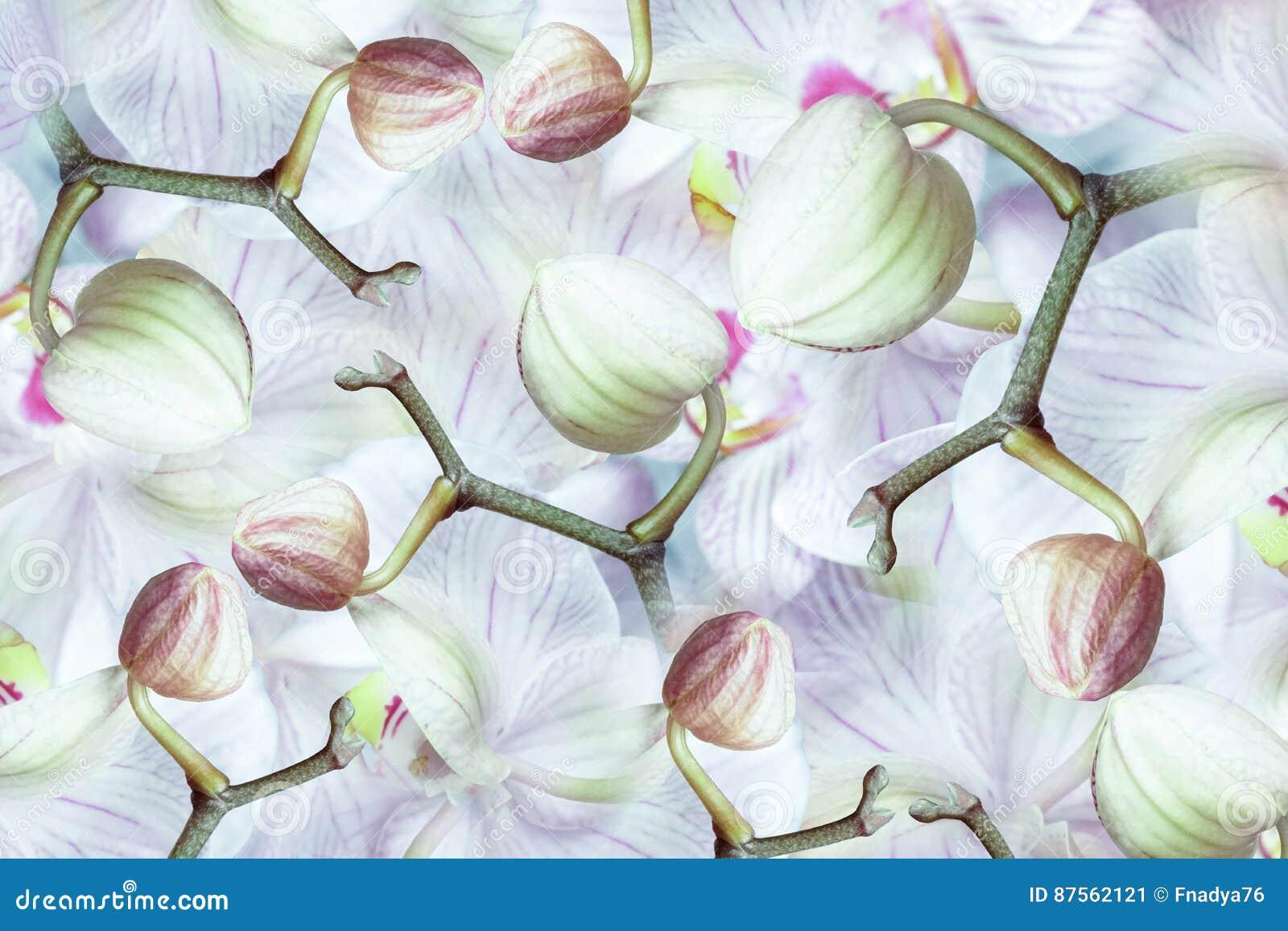 Orchidea Bianco-verde-rosa-rossa dei germogli Fondo delle orchidee dei fiori Composizione nel fiore un collage dei fiori striati