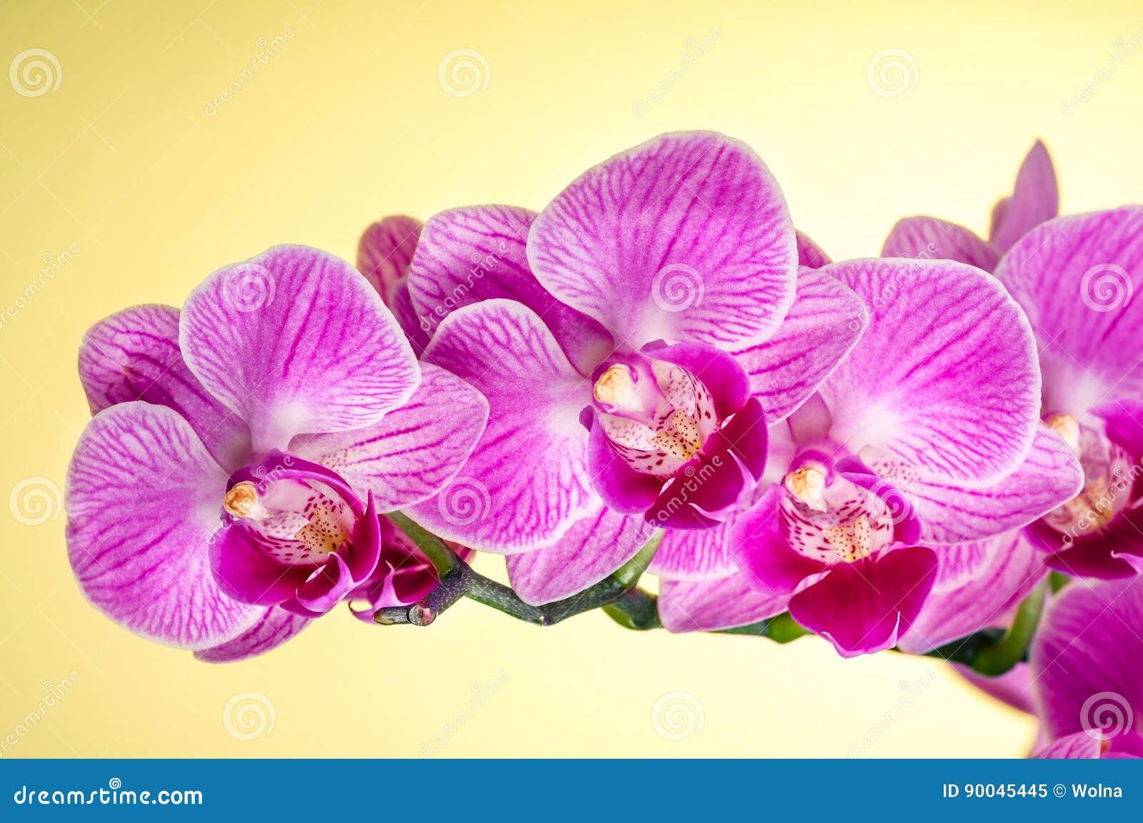 Orchidea di fioritura immagine stock immagine di singolo for Orchidea fioritura