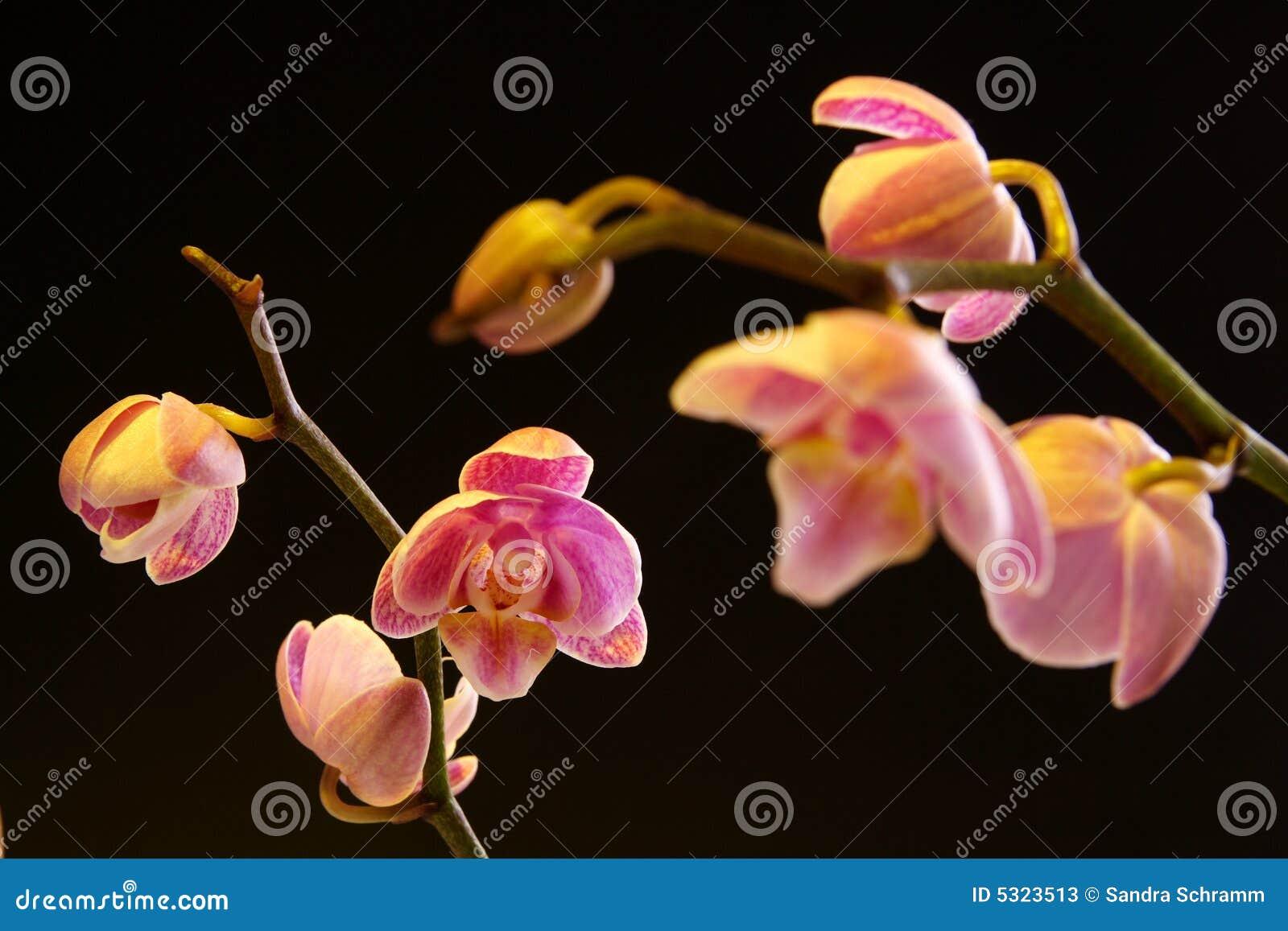 Download Orchidea Di Lepidottero (orchidaceae Di Phalaenopsis) Immagine Stock - Immagine di regalo, petalo: 5323513