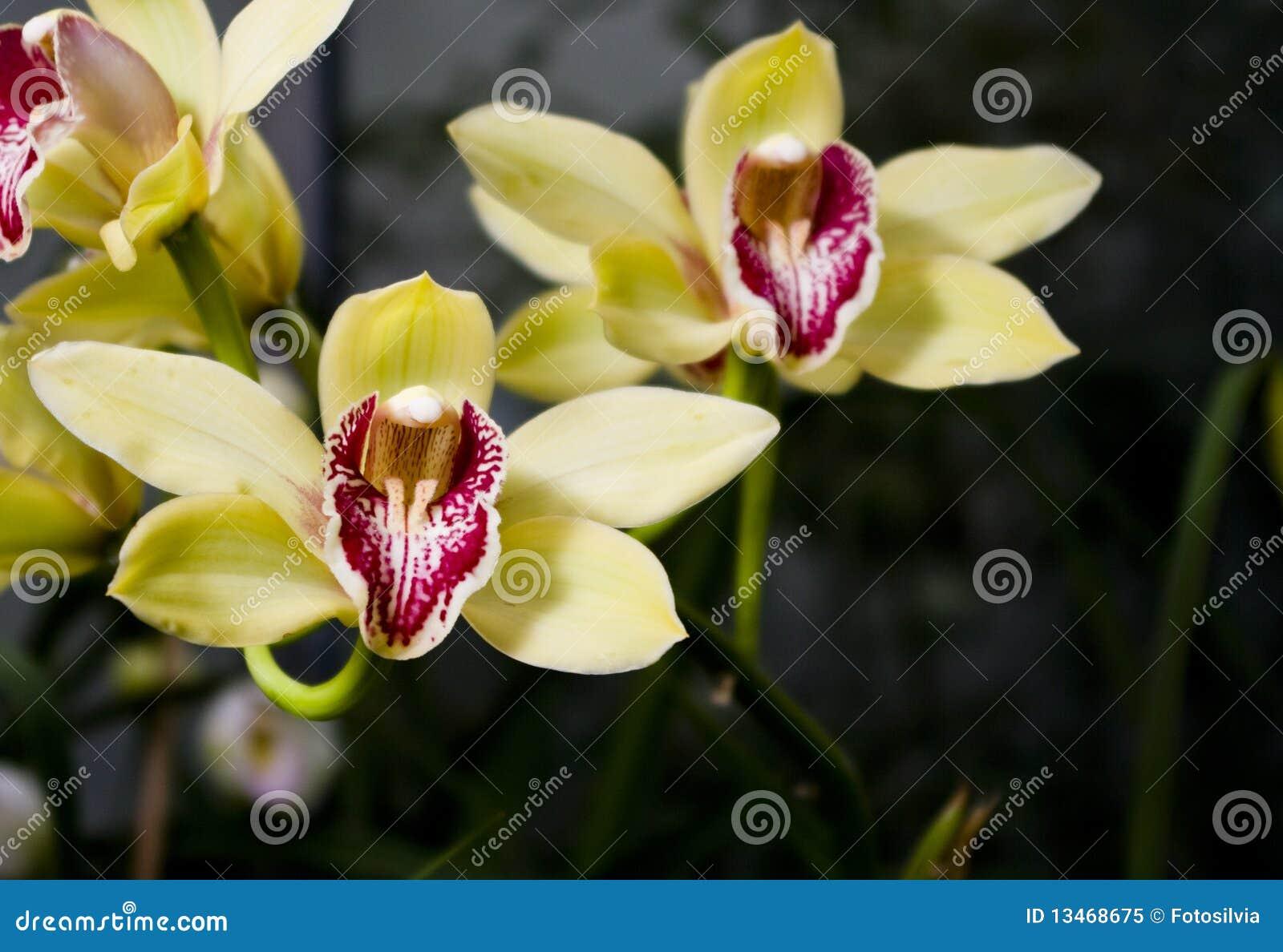 Orchidea gialla immagine stock immagine di nero fragile for Orchidea foglie gialle