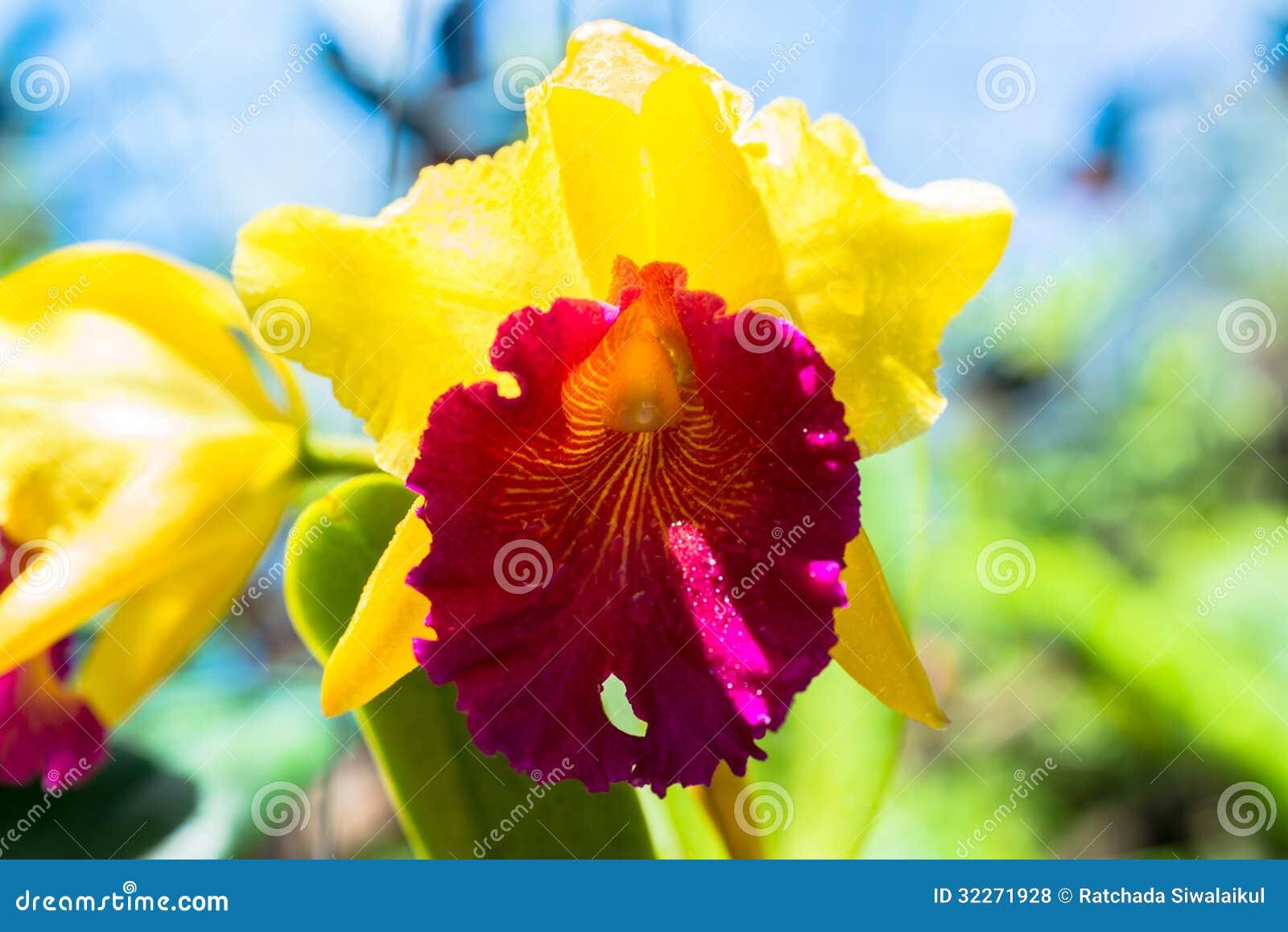 Parete Gialla E Marrone : Orchidea gialla e marrone rossiccio ...