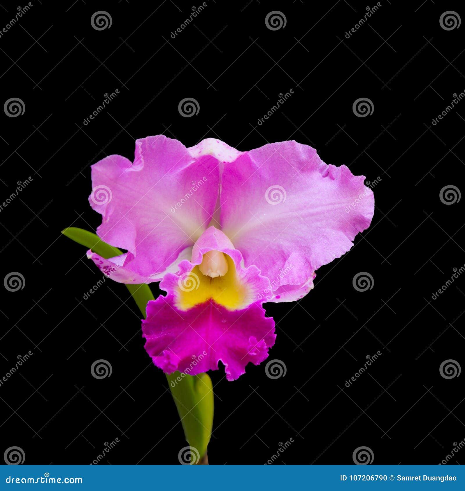 Orchidea jest rośliną z pięknym kwiatem na czarnym backgro jakby