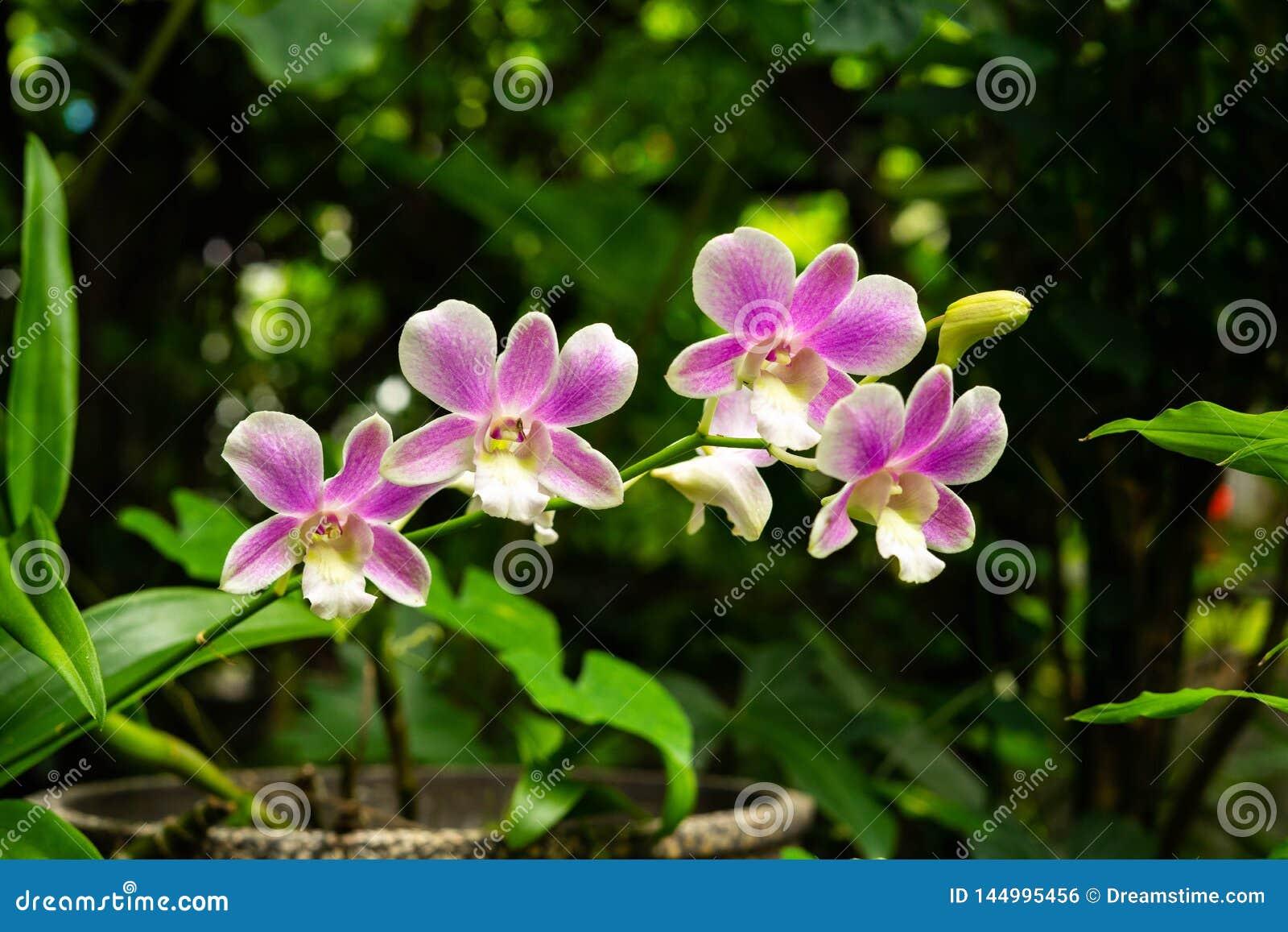 Orchidea porpora della pianta