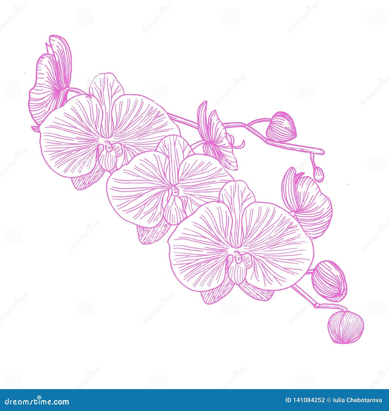 Orchidea ręka patroszona grafit