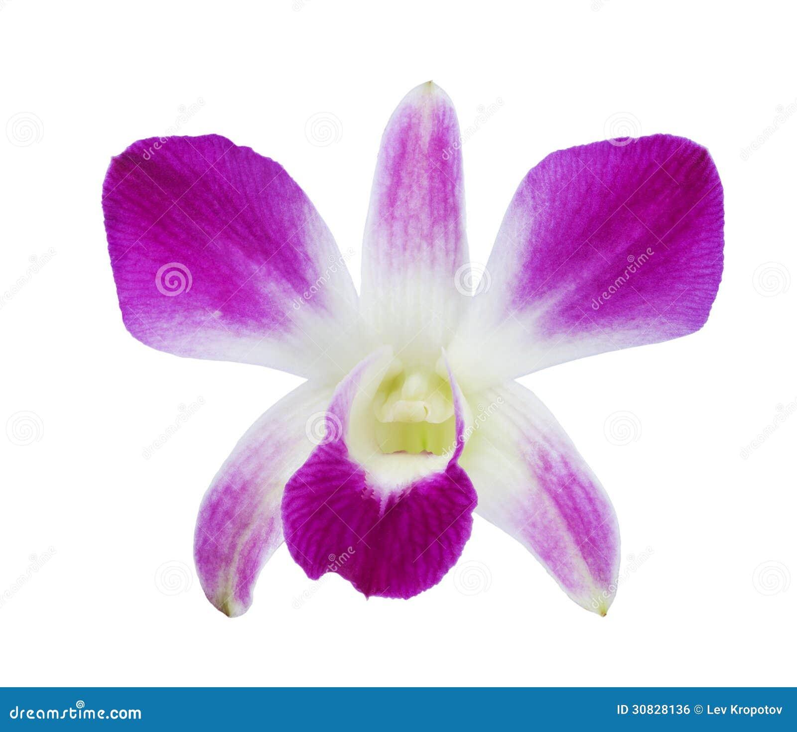 Orchidea rosso-acceso