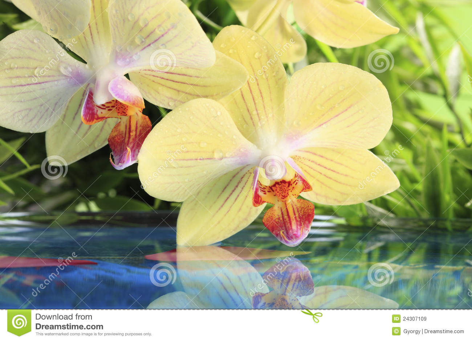 Orchidea su acqua immagine stock immagine di idilliaco for Orchidea acqua