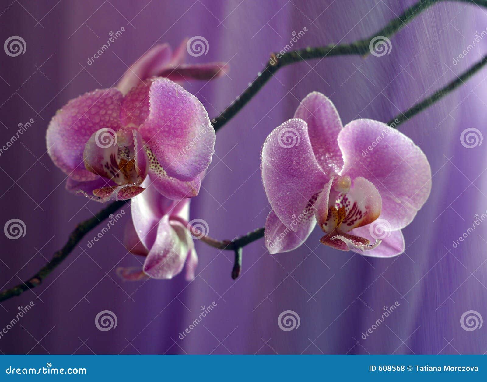 Orchidee - 3