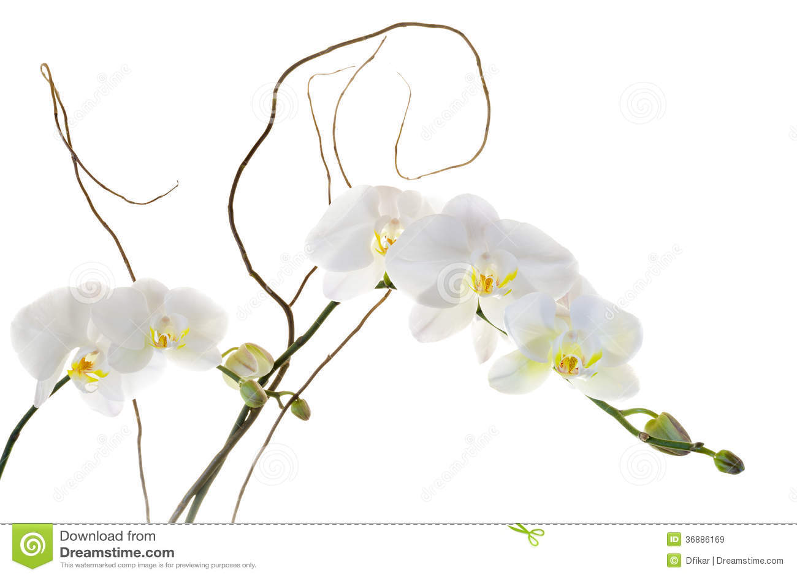 Download Orchidee bianche immagine stock. Immagine di verde, pianta - 36886169