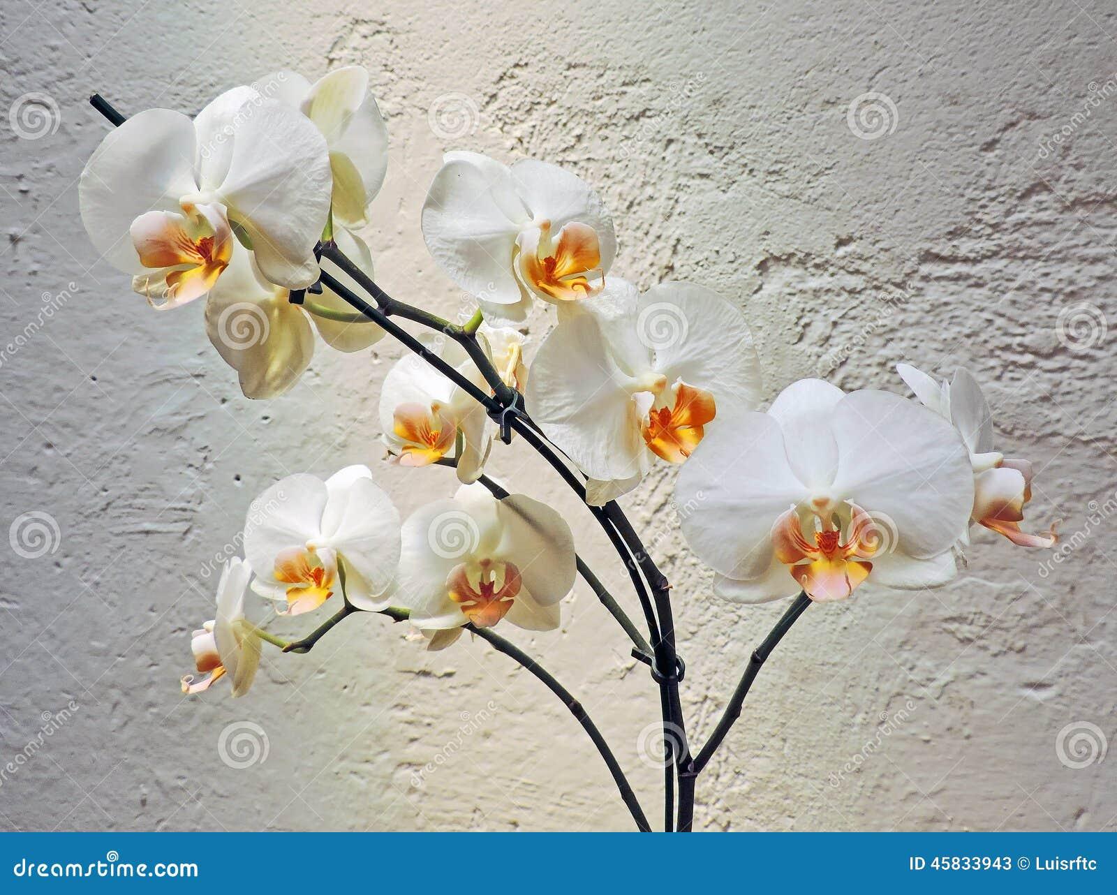foto orchidee bull 52 - photo #33