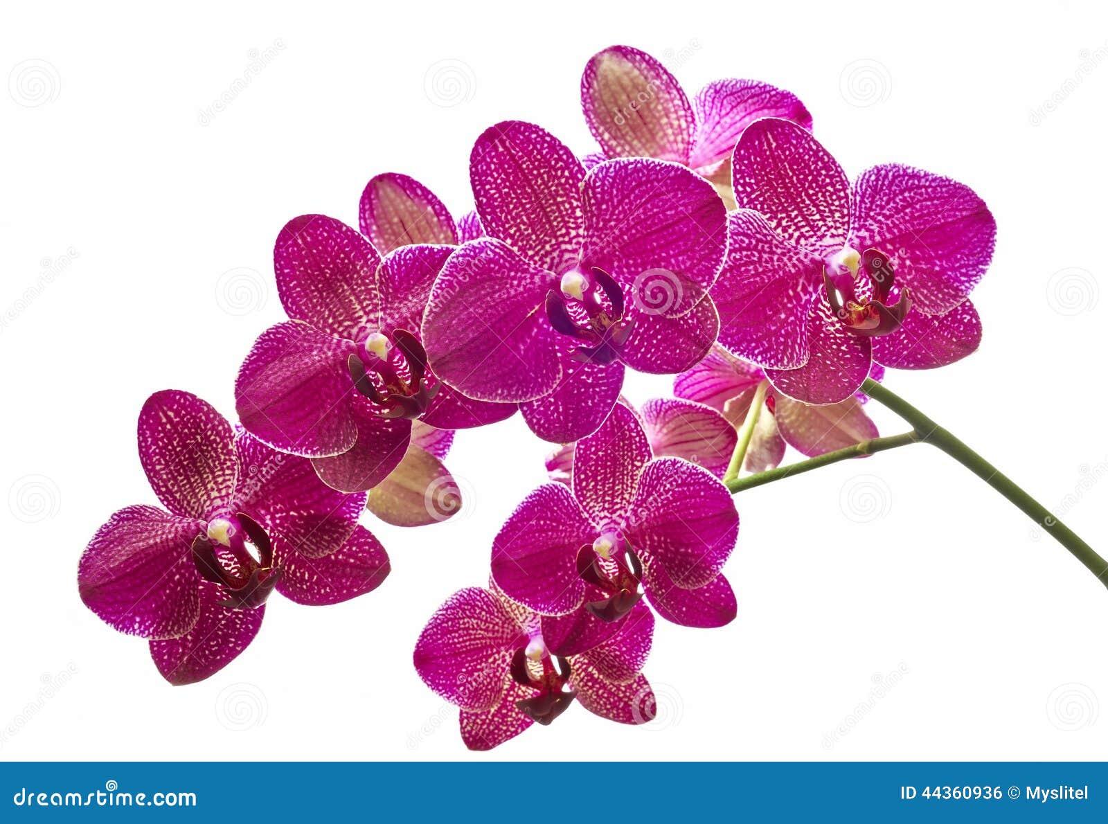 Orchidee del fiore