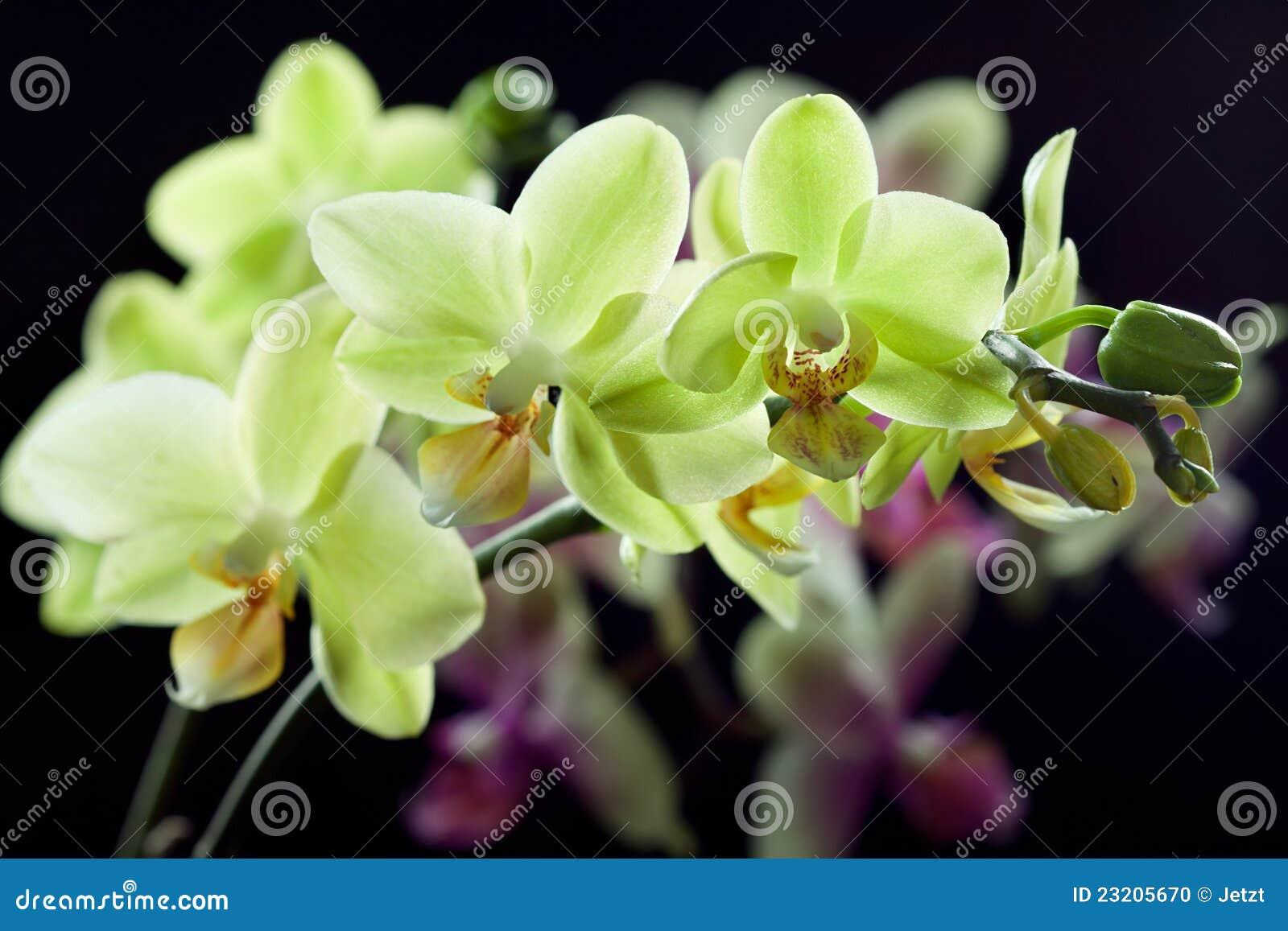Orchidee gialle e viola sul nero fotografia stock for Orchidea foglie gialle