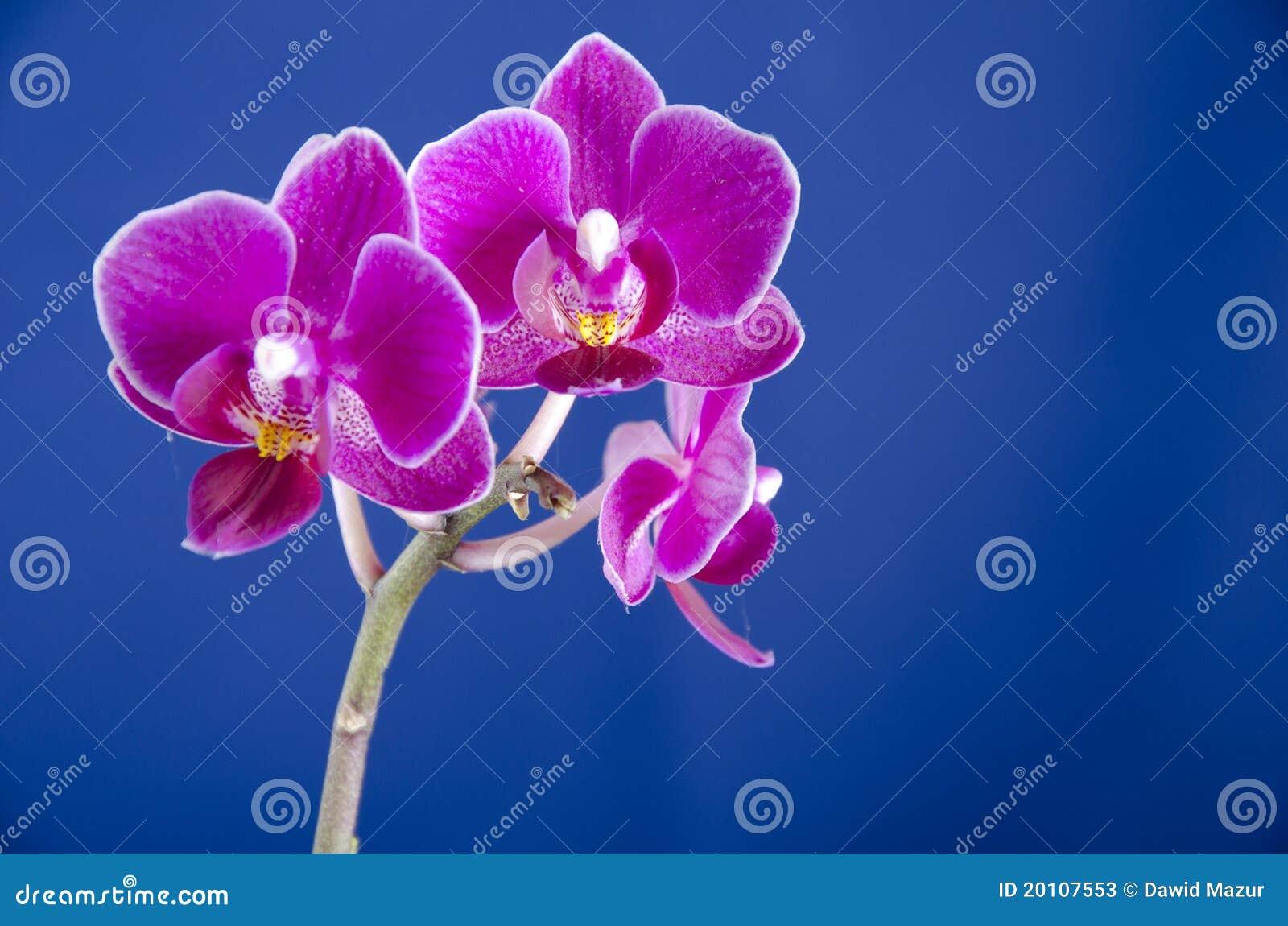 Orchidee op de blauwe achtergrond