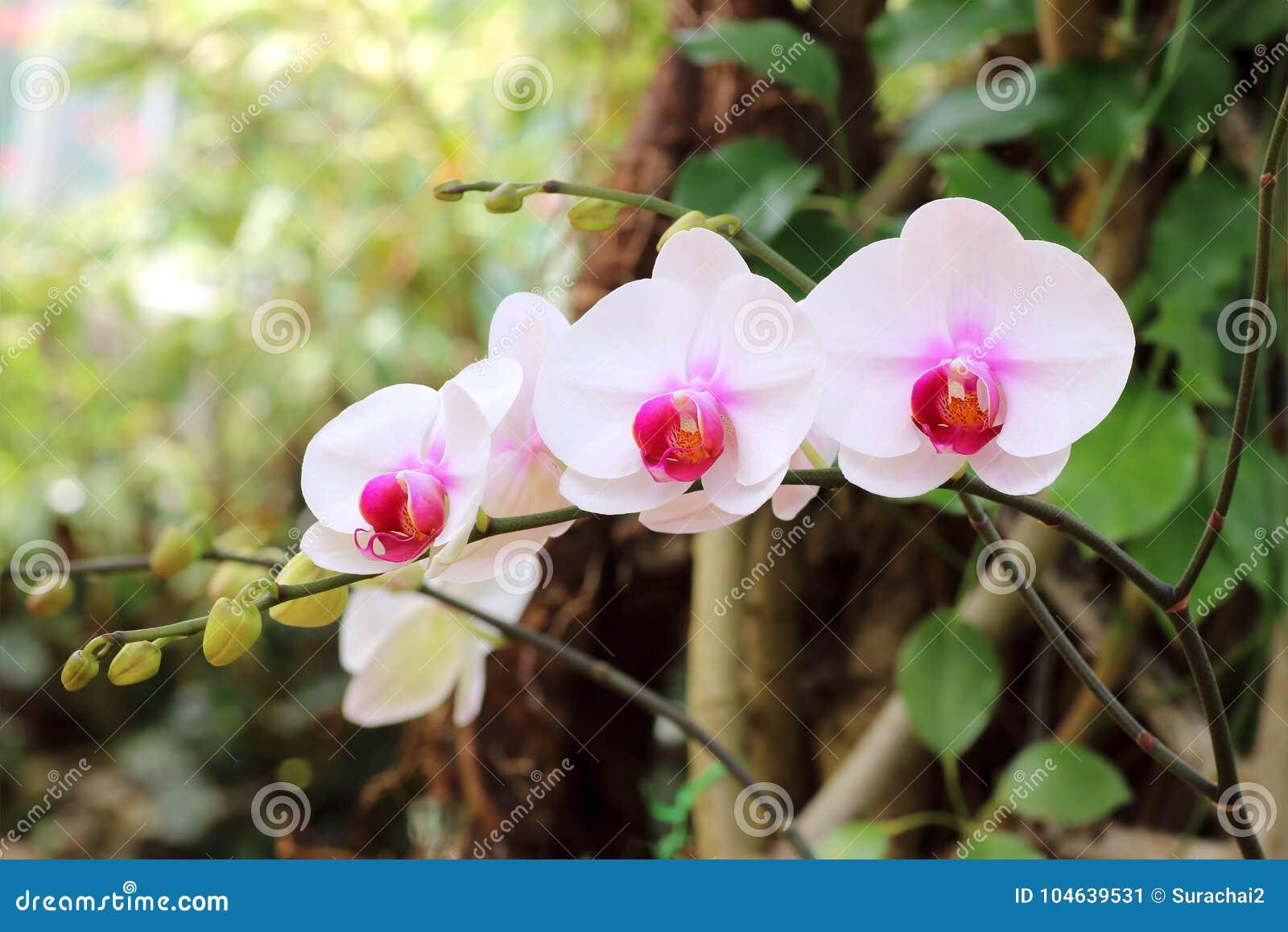 Download Orchidee Op De Tuinachtergrond Stock Afbeelding - Afbeelding bestaande uit voor, achtergrond: 104639531