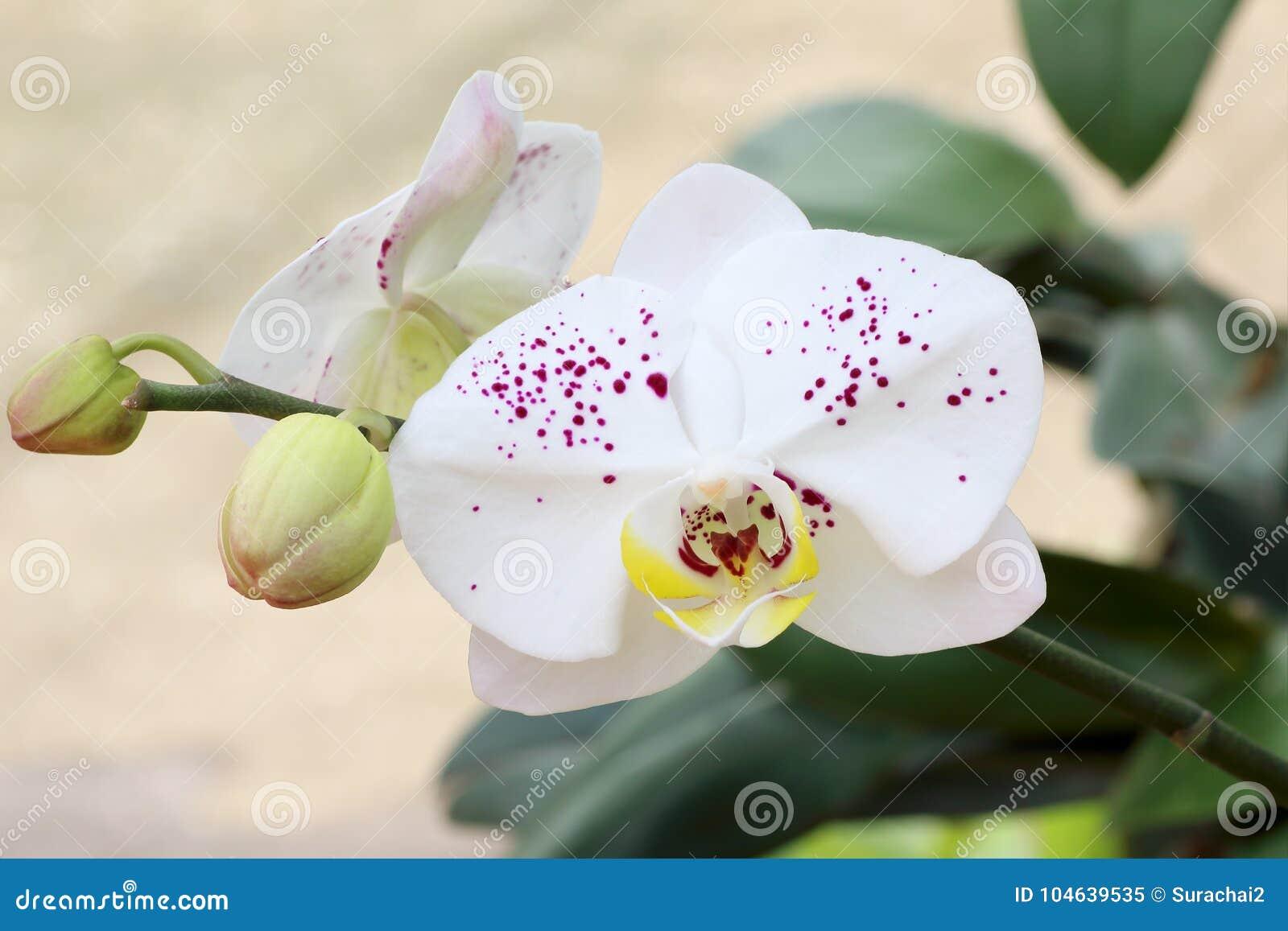 Download Orchidee Op De Tuinachtergrond Stock Afbeelding - Afbeelding bestaande uit voor, tropisch: 104639535